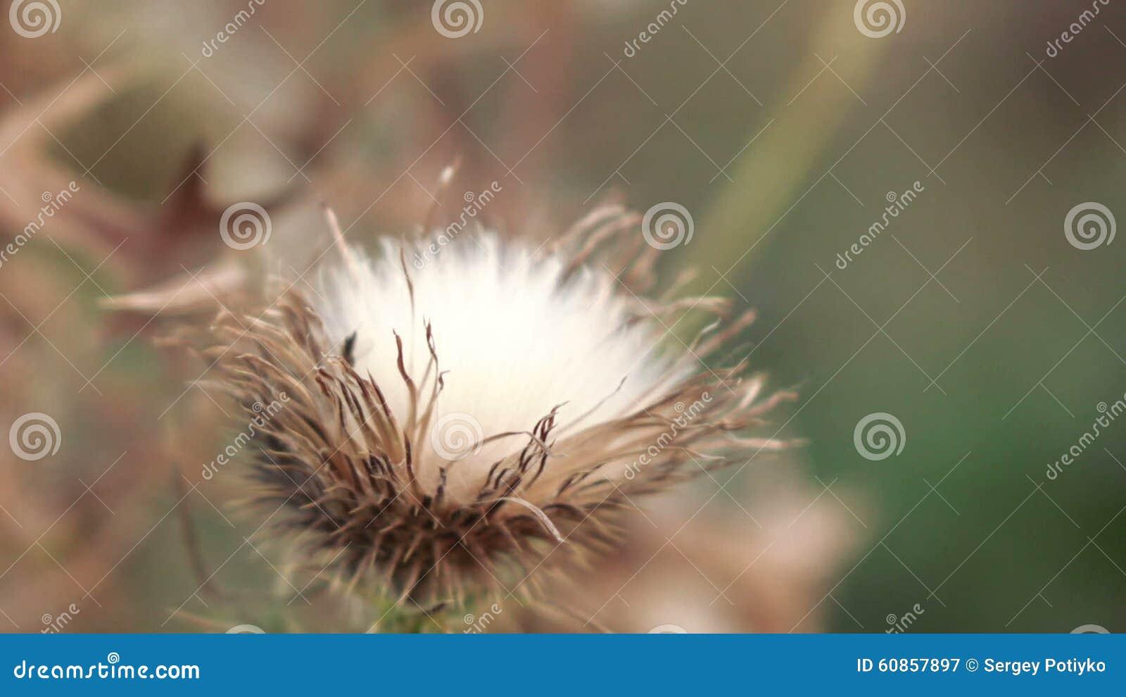 Fleur Seche De Chardon De Fleur Clips Videos Video Du Nature Vert