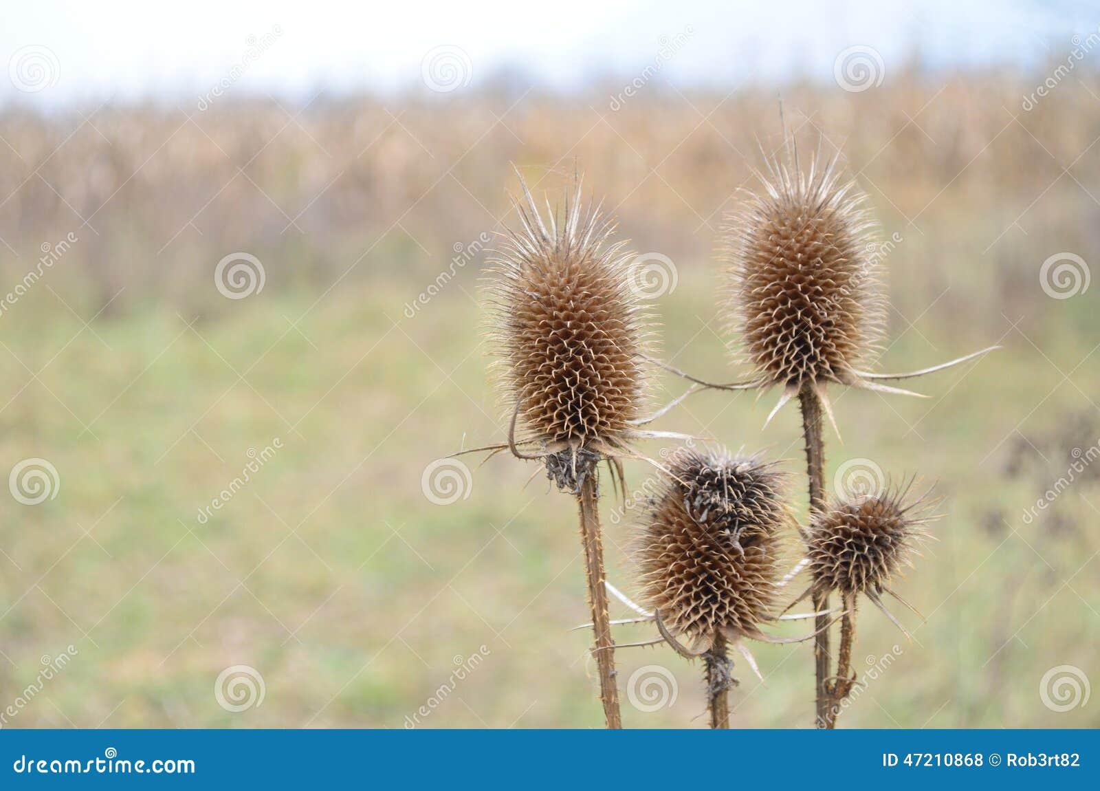 Fleur Seche De Chardon Sur Le Pre Photo Stock Image Du Bureau