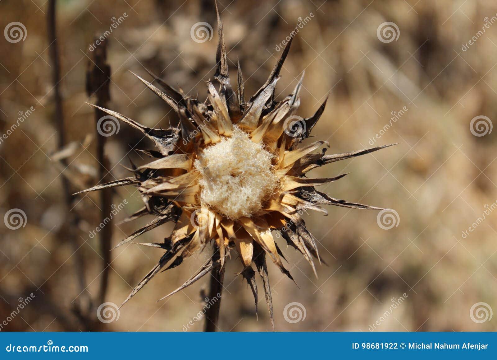 Fleur Seche De Chardon Un Jour Chaud En Israel Photo Stock Image