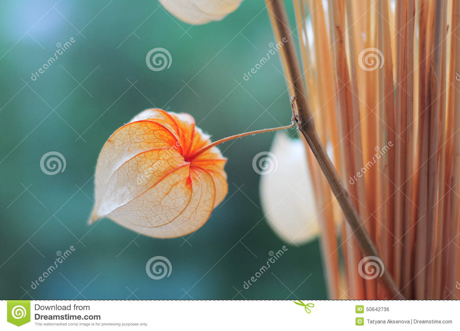 fleur s che de physalis photo stock image 50642736. Black Bedroom Furniture Sets. Home Design Ideas