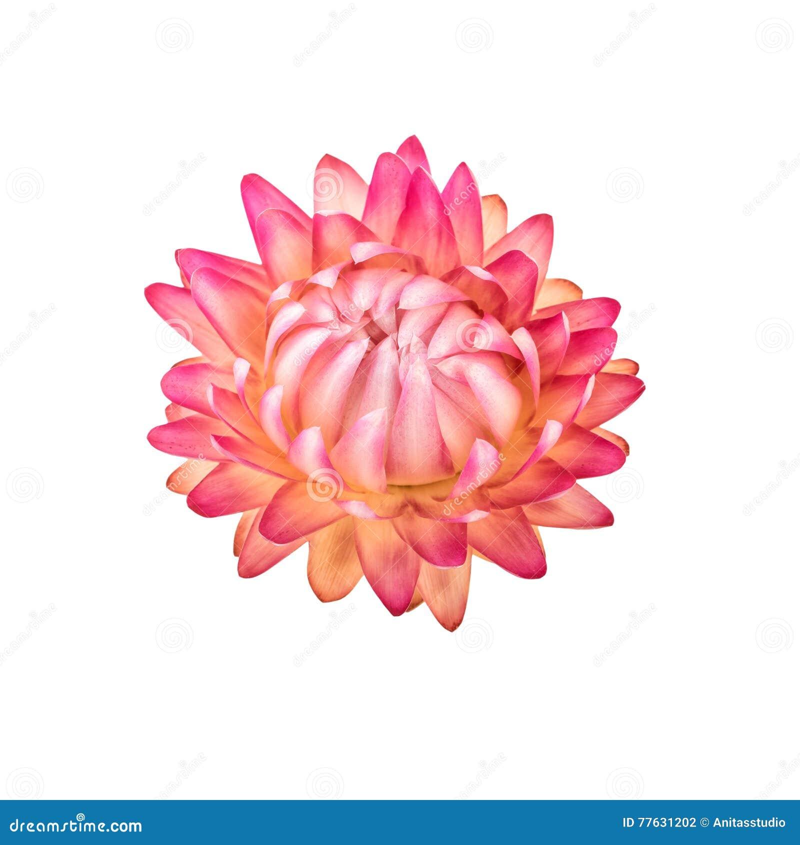 Fleur sèche Un Straw Flower Isolated éternel rose sur le blanc