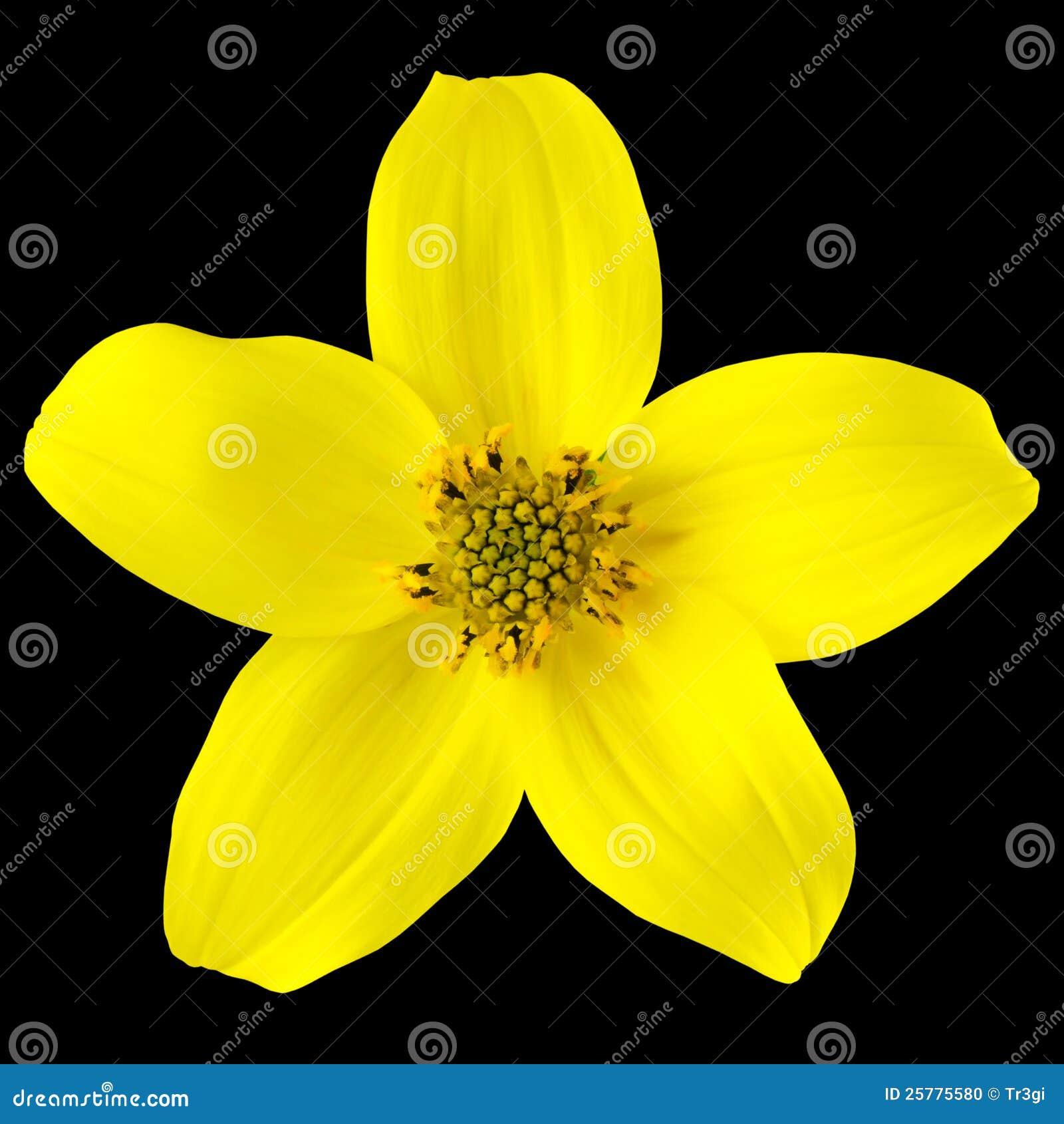 Fleur Sauvage Jaune Avec Cinq Petales D Isolement Photo Stock