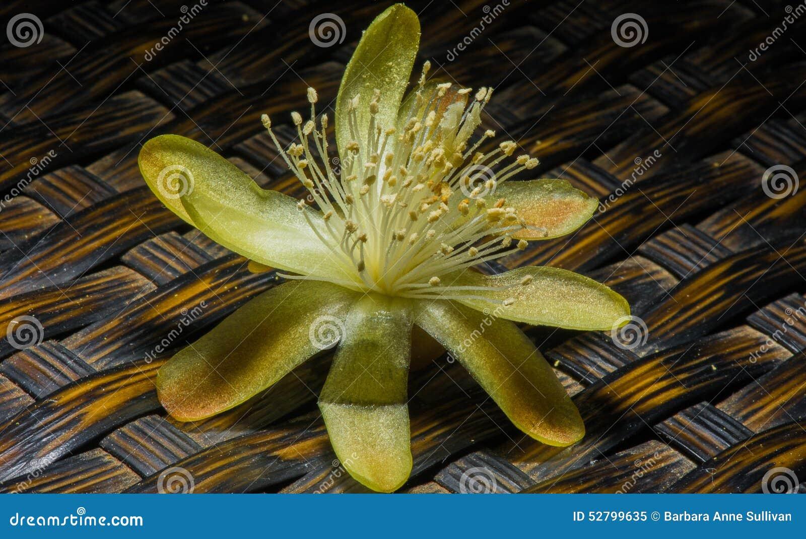 fleur simple de haie de cactus de hildmannianus renversant de