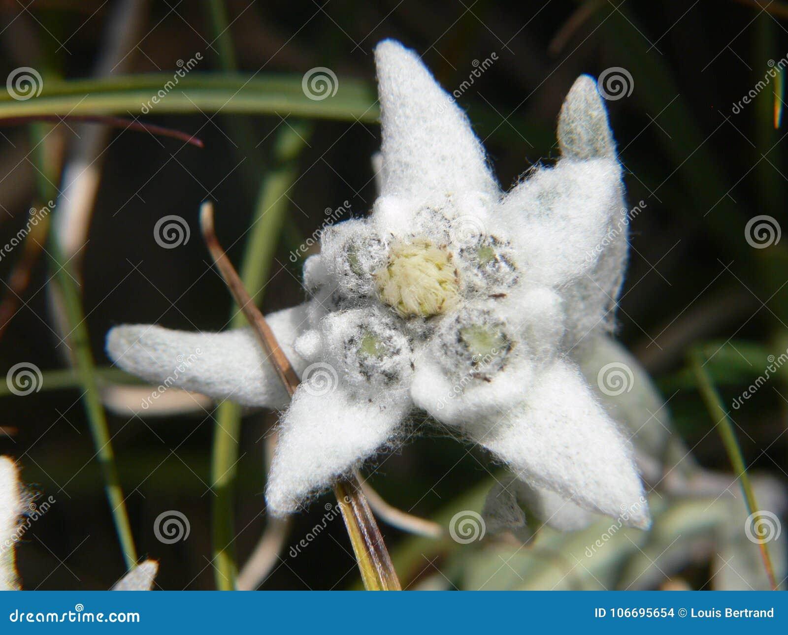 Leontopodium Alpinum Savoie France Stock Photo Image Of Color