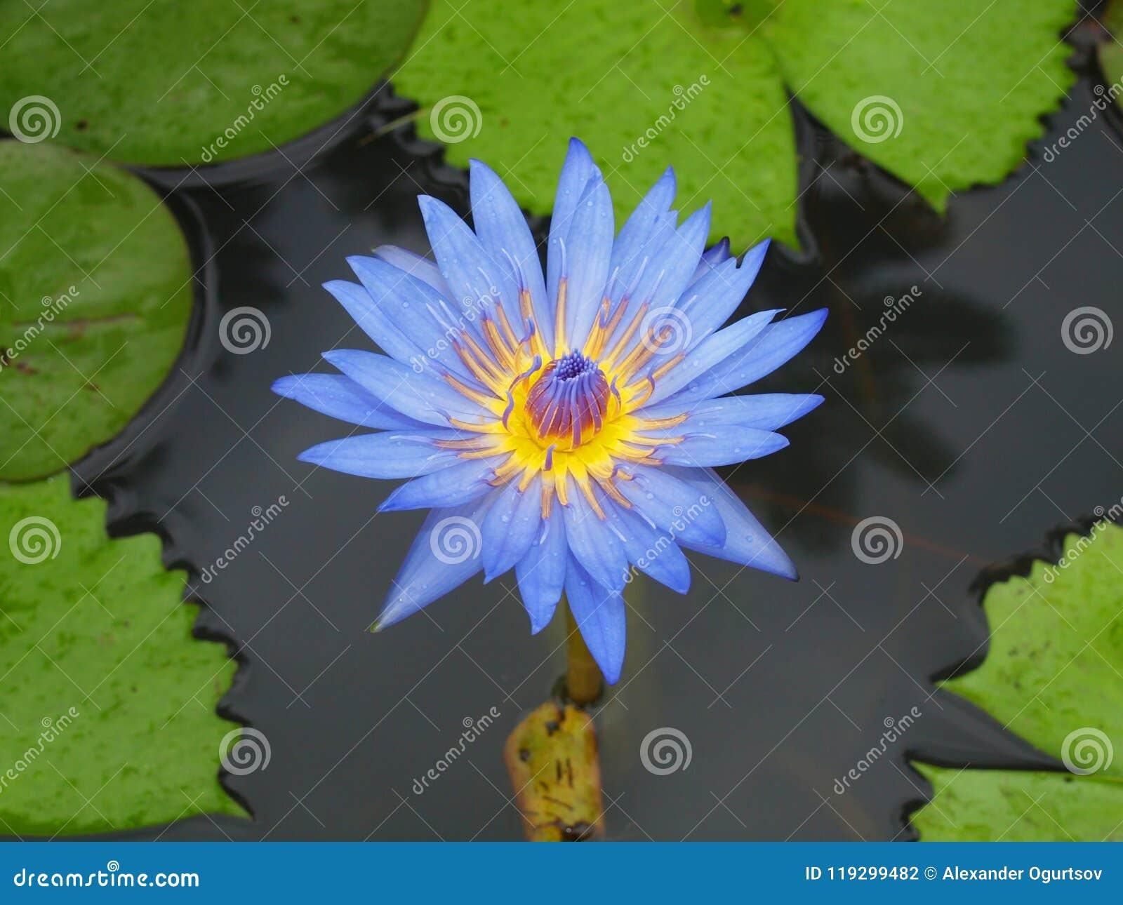 Fleur Tropicale Photo Stock Image Du Fleur Tropique 119299482