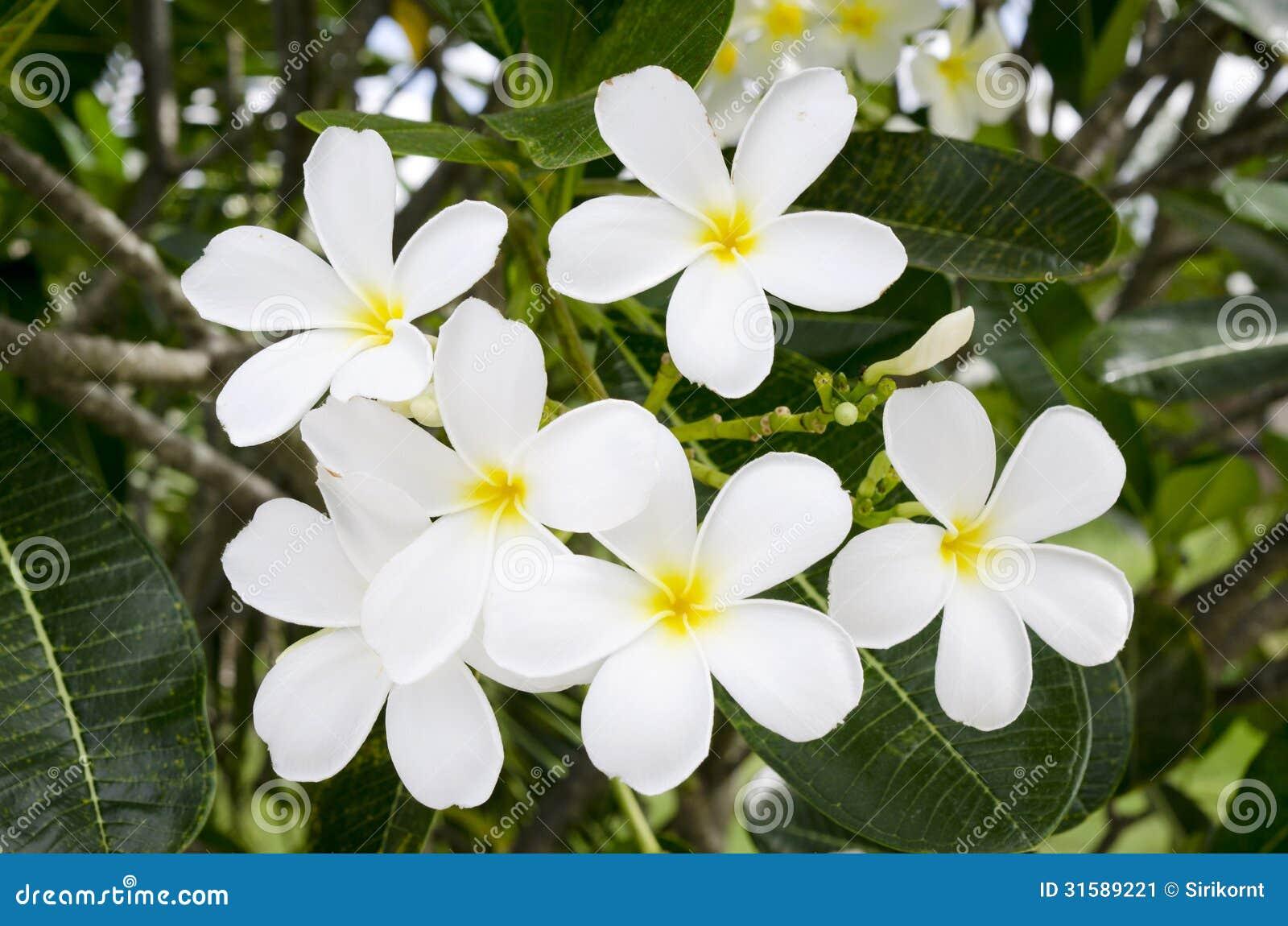 Fleur Tropicale Blanche Image Stock Image Du Orientation 31589221