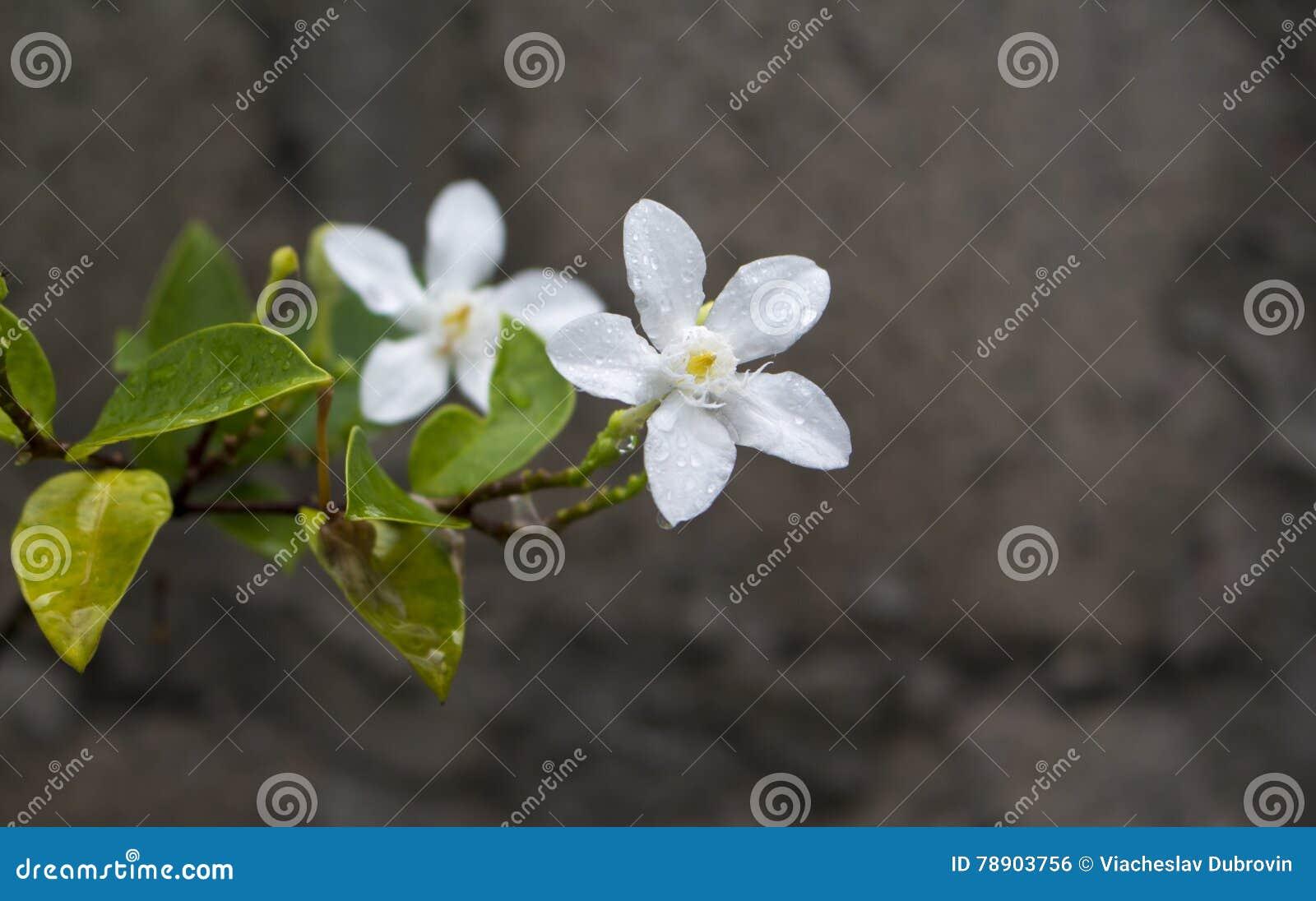 Fleur Tropicale Blanche Sous La Pluie Photo Exotique De Macro De