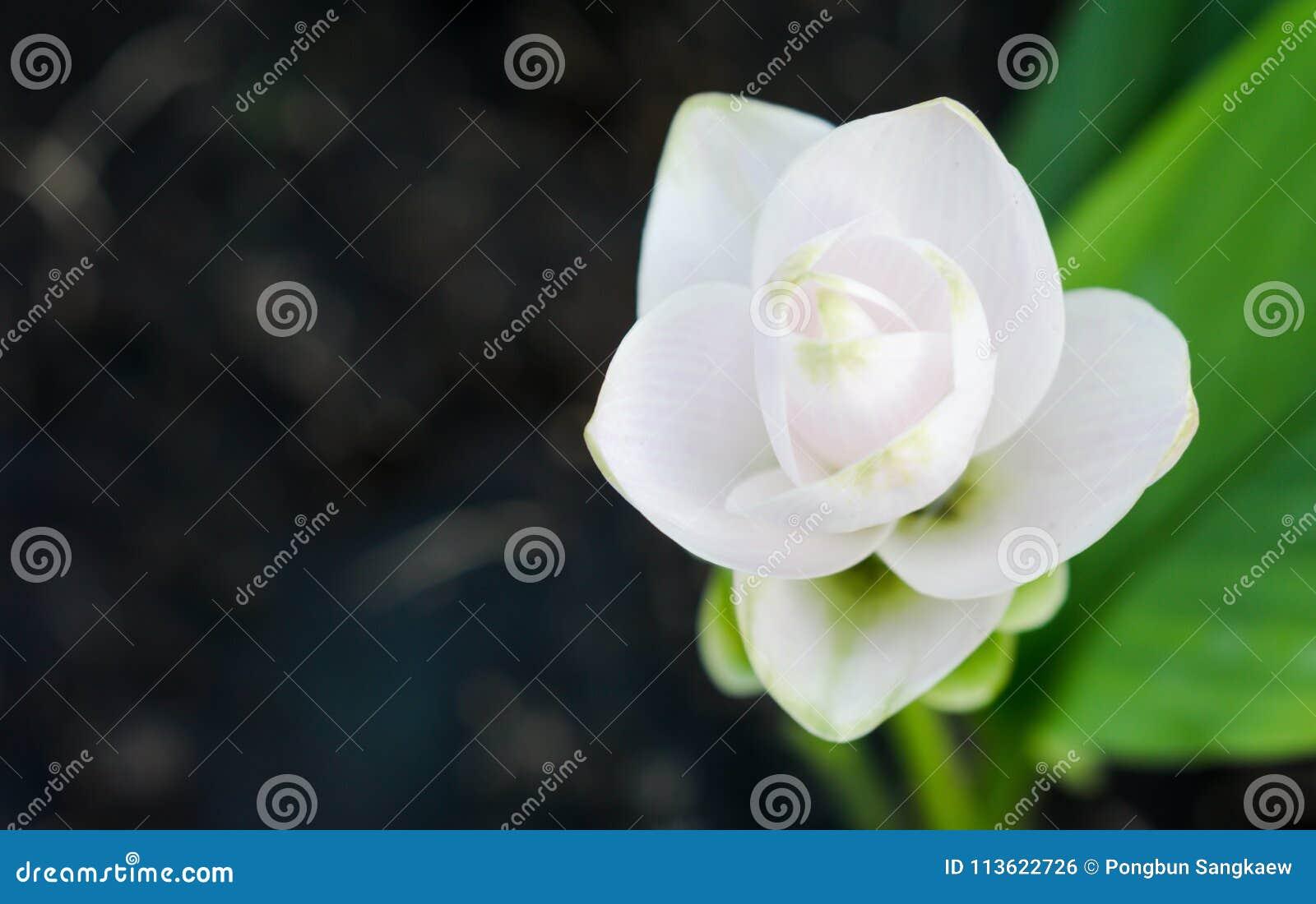 Fleur Tropicale Blanche Sur Le Fond Fonce Photo Stock Image Du