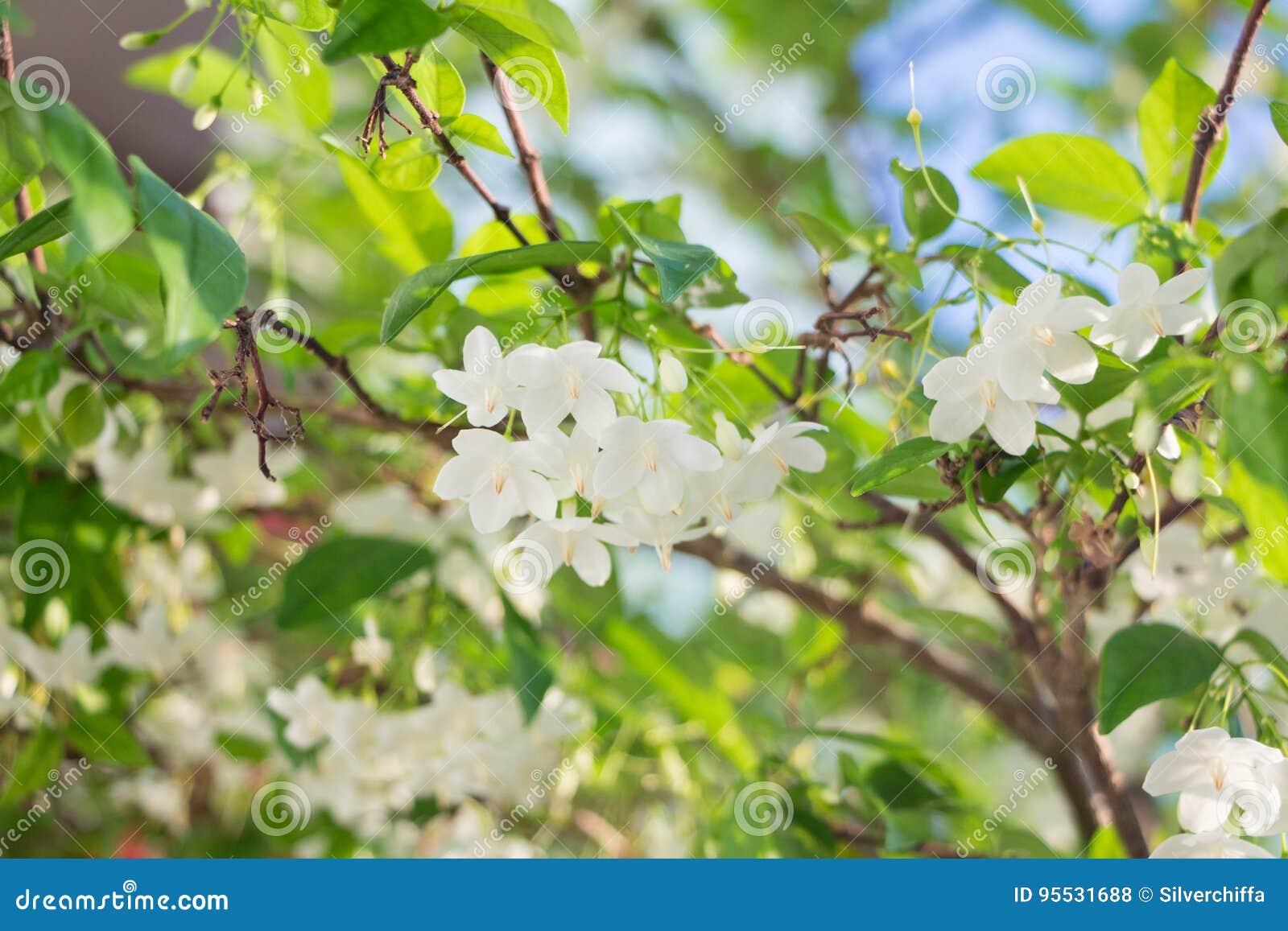 Fleur Tropicale Blanche Wrightia Religiosa Benth Photo Stock Image