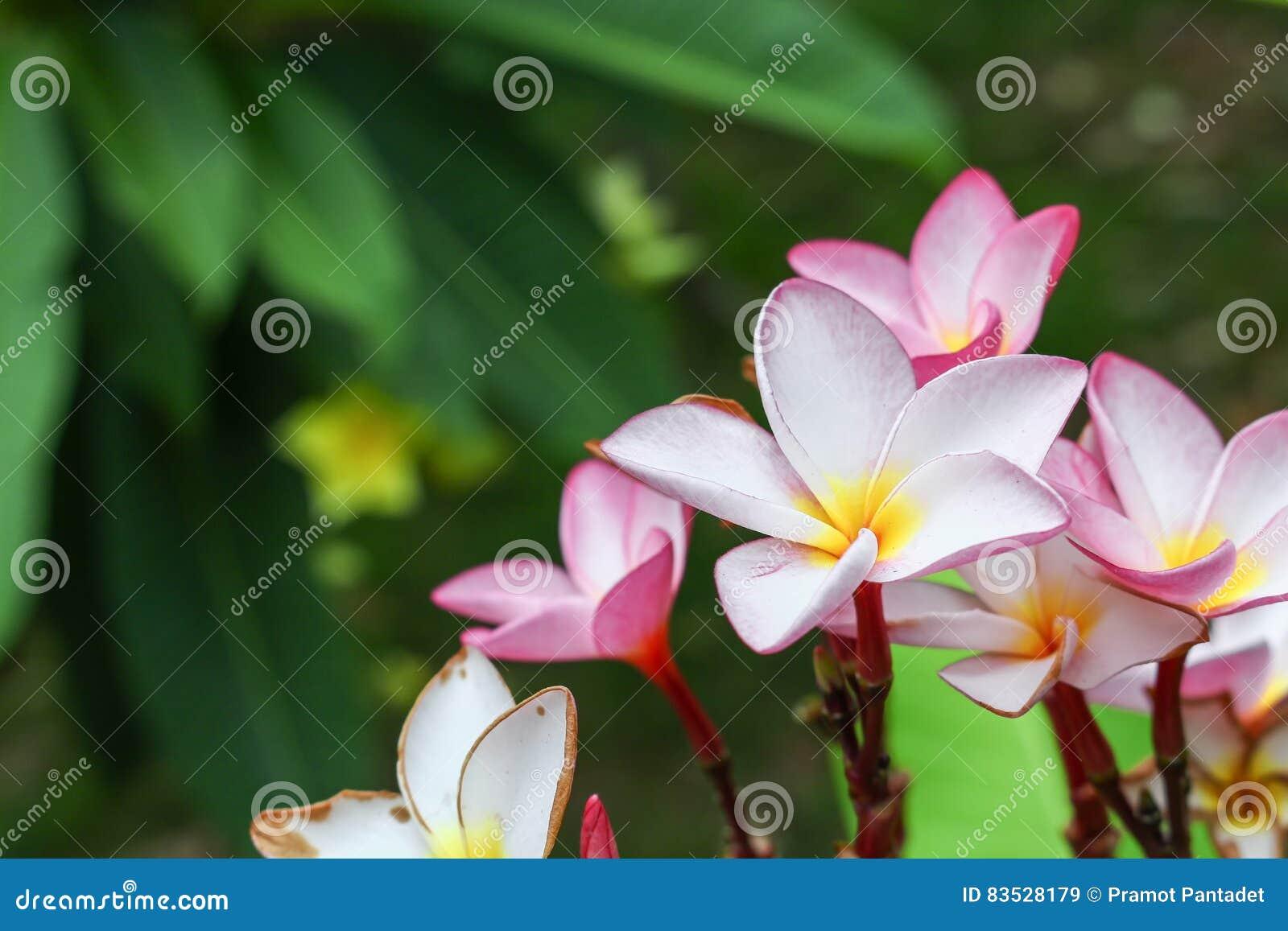 Fleur Tropicale De Frangipani Rose Et Blanc De Fleur De Plumeria