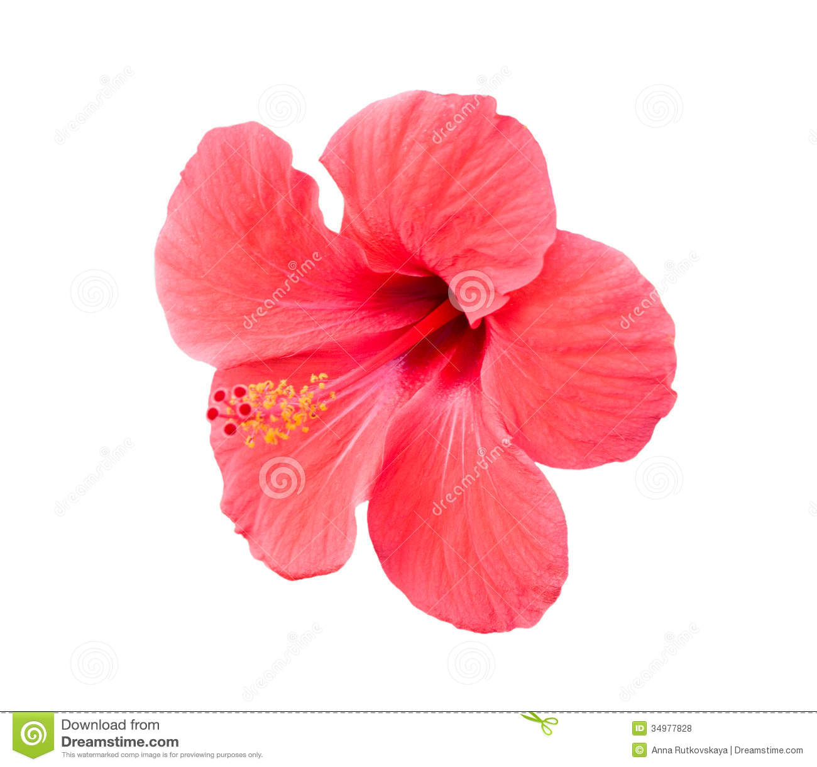 Frangipani spa flowers stock photo image 14654190 - Photos Libres De Droits Fleur Tropicale De Ketmie Rose Au Dessus De