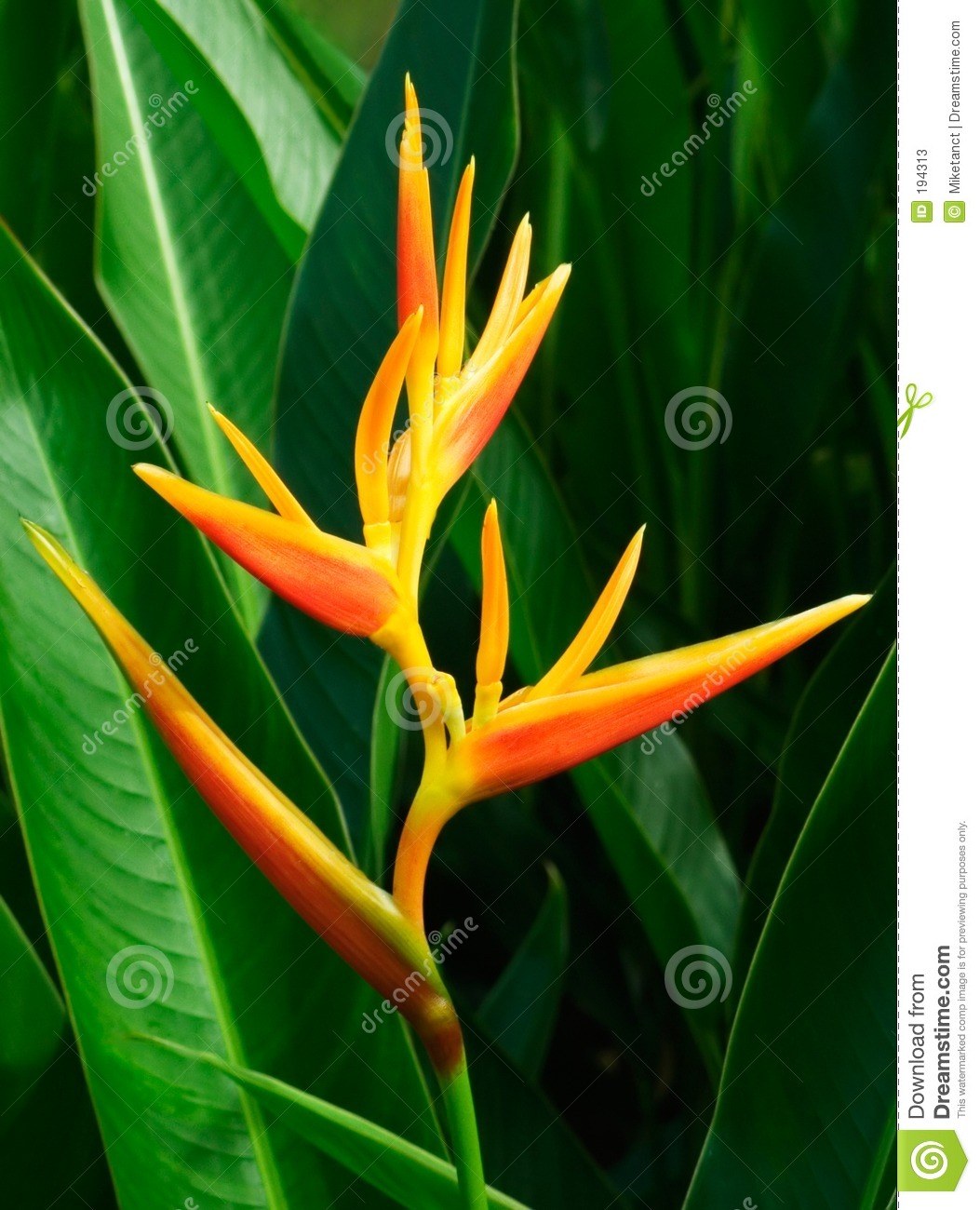 Fleur tropicale Heliconia