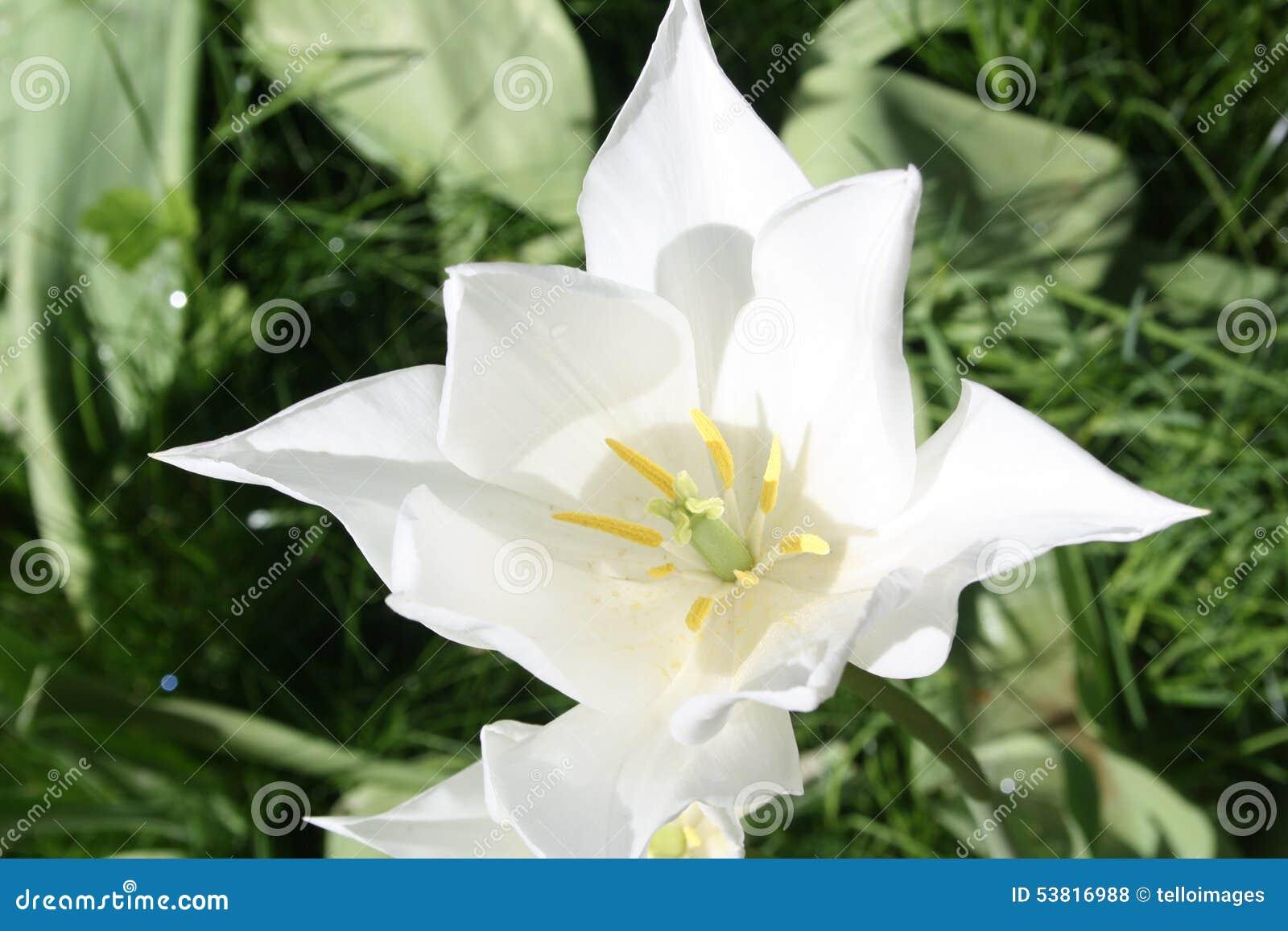 Fleur Tulipe Blanche Photo Stock Image Du Lumineux 53816988