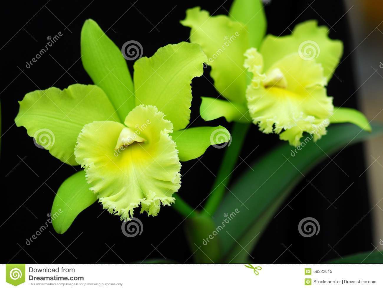 fleur verte d 39 orchid e de cattleya image stock image du rare vert 59322615. Black Bedroom Furniture Sets. Home Design Ideas