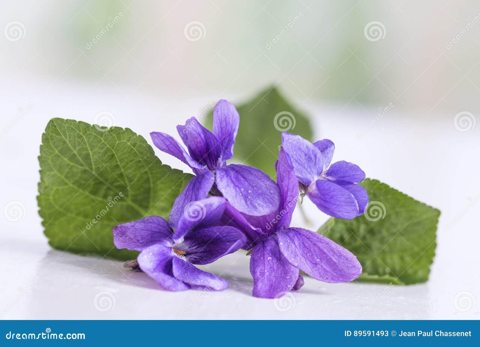 fleur violette, détail nom scientifique : odorata d'alto i image