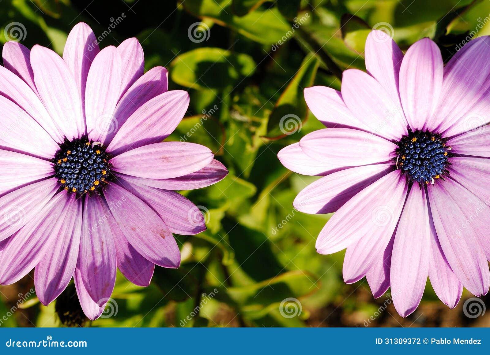 Fleur violette dans un jardin de reykjavik islande for Fleurs dans un jardin