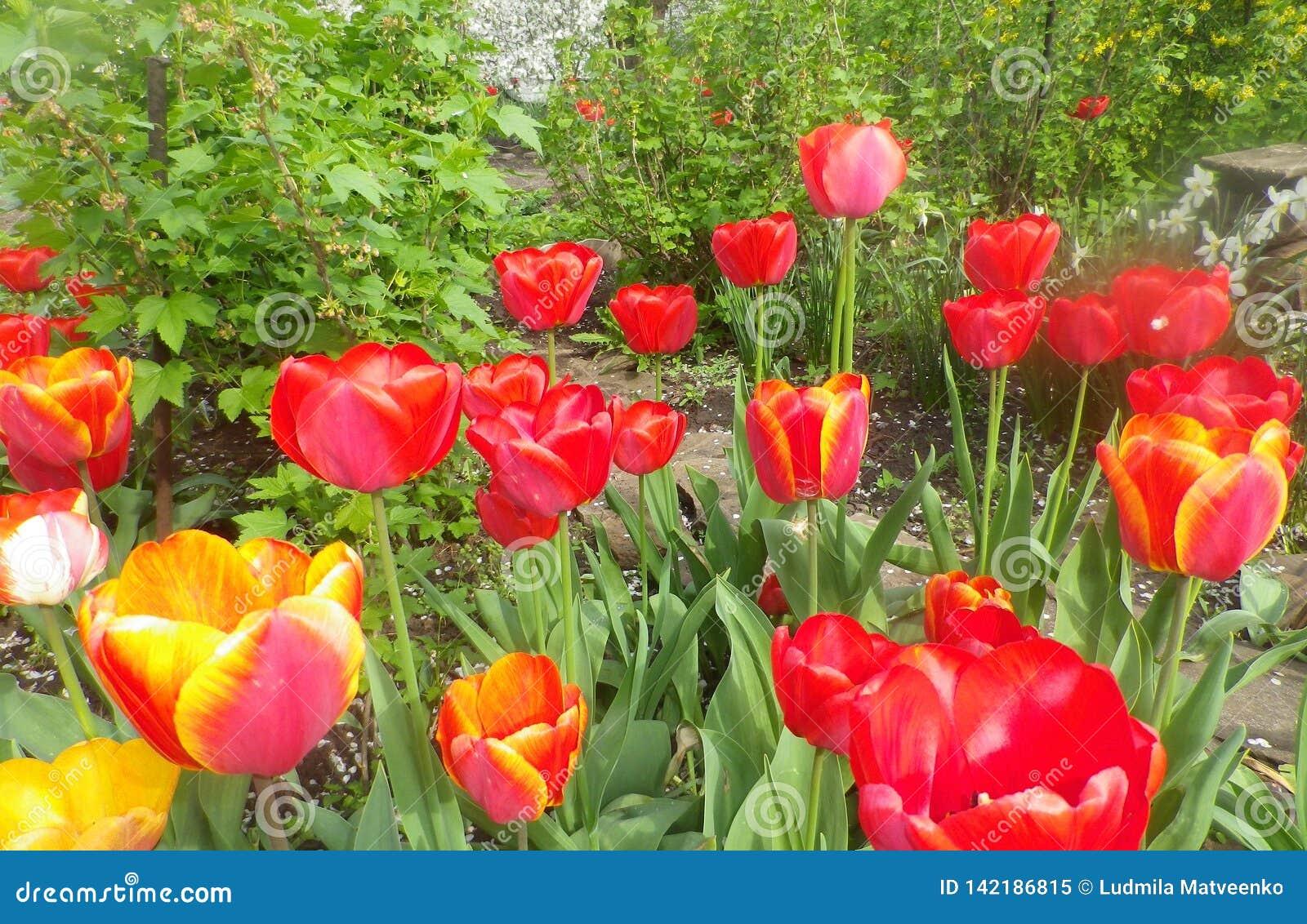 Fleurissez au printemps des tulipes colorées dans le jardin Roses rouges de belles fleurs roses magnifiques au soleil dans le jar