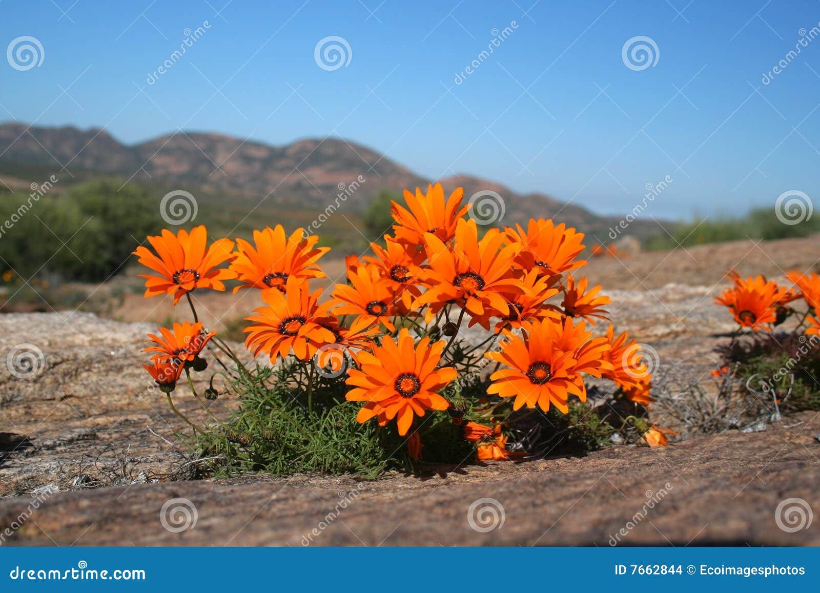 Fleurit sauvage orange