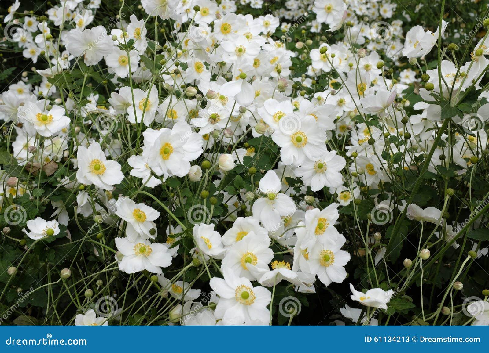 Fleurs Blanches Avec Le Coeur Jaune Image Stock Image Du Orange