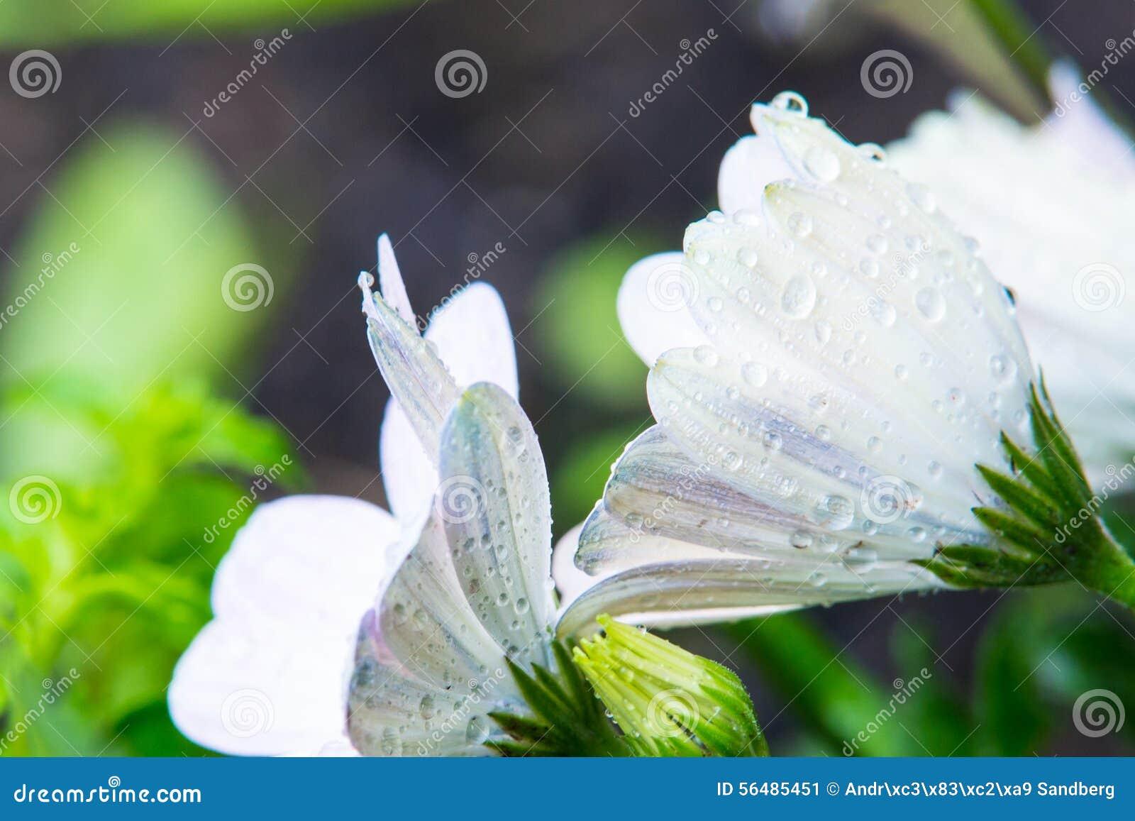 Fleurs blanches avec Waterdrops