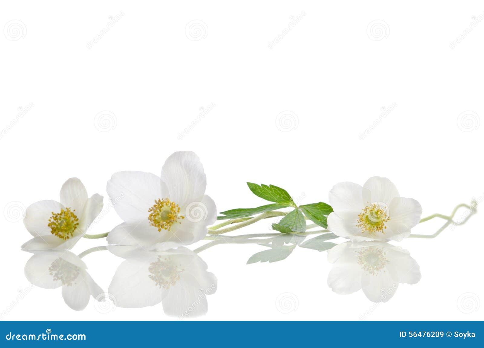 Fleurs blanches d anémone