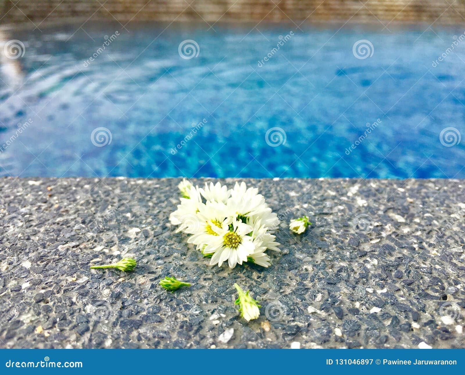 Fleurs blanches d aster avec le bourgeon mis sur le plancher en pierre près de la piscine dans l heure d été