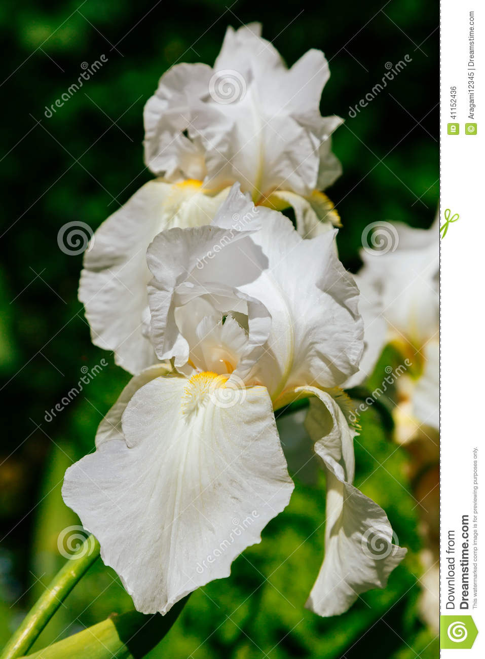 fleurs blanches d 39 iris dans le jardin d 39 t photo stock. Black Bedroom Furniture Sets. Home Design Ideas