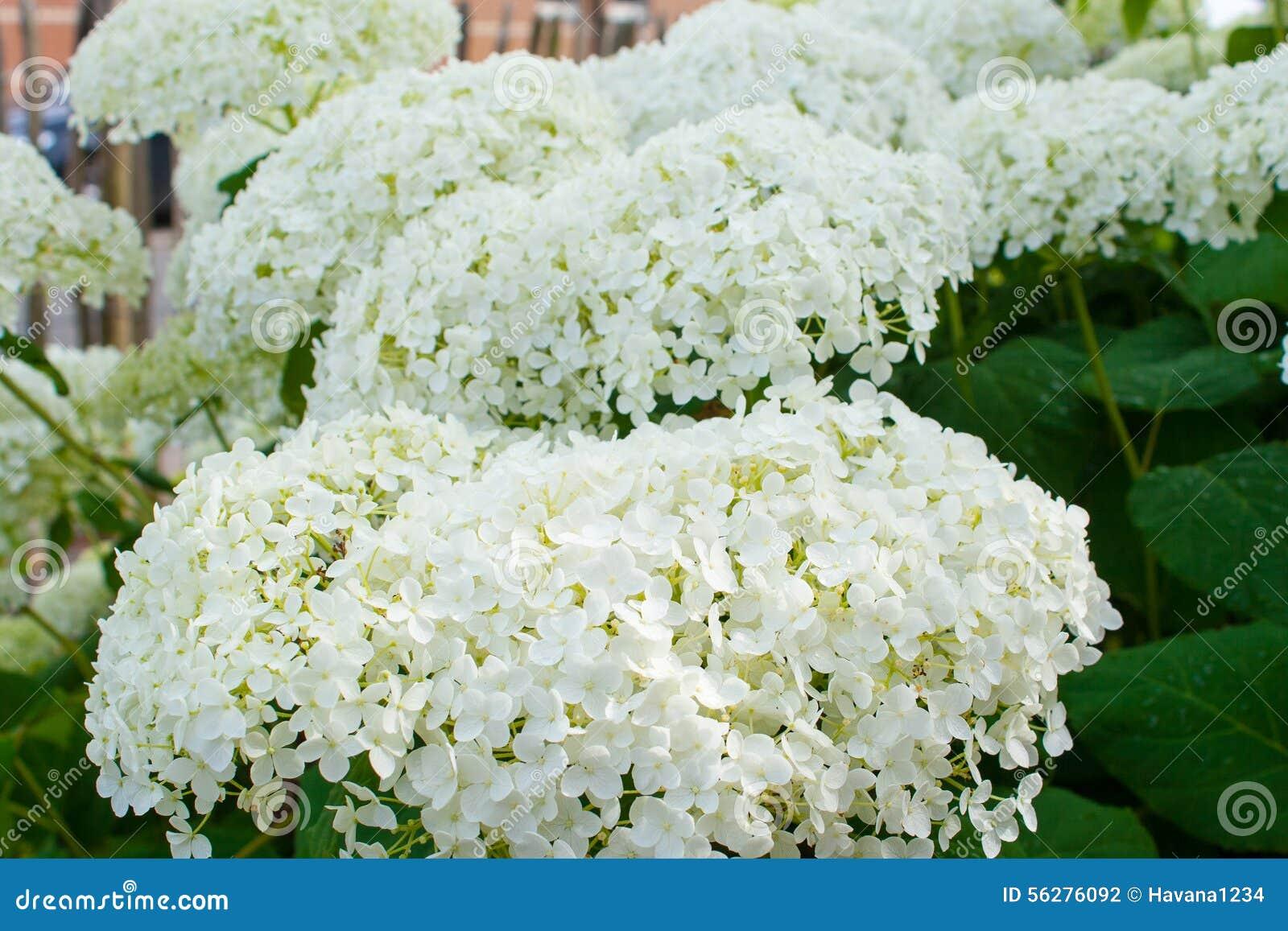 fleurs blanches d 39 t de boules d 39 annabelle d 39 arborescens d 39 hortensia photo stock image 56276092. Black Bedroom Furniture Sets. Home Design Ideas