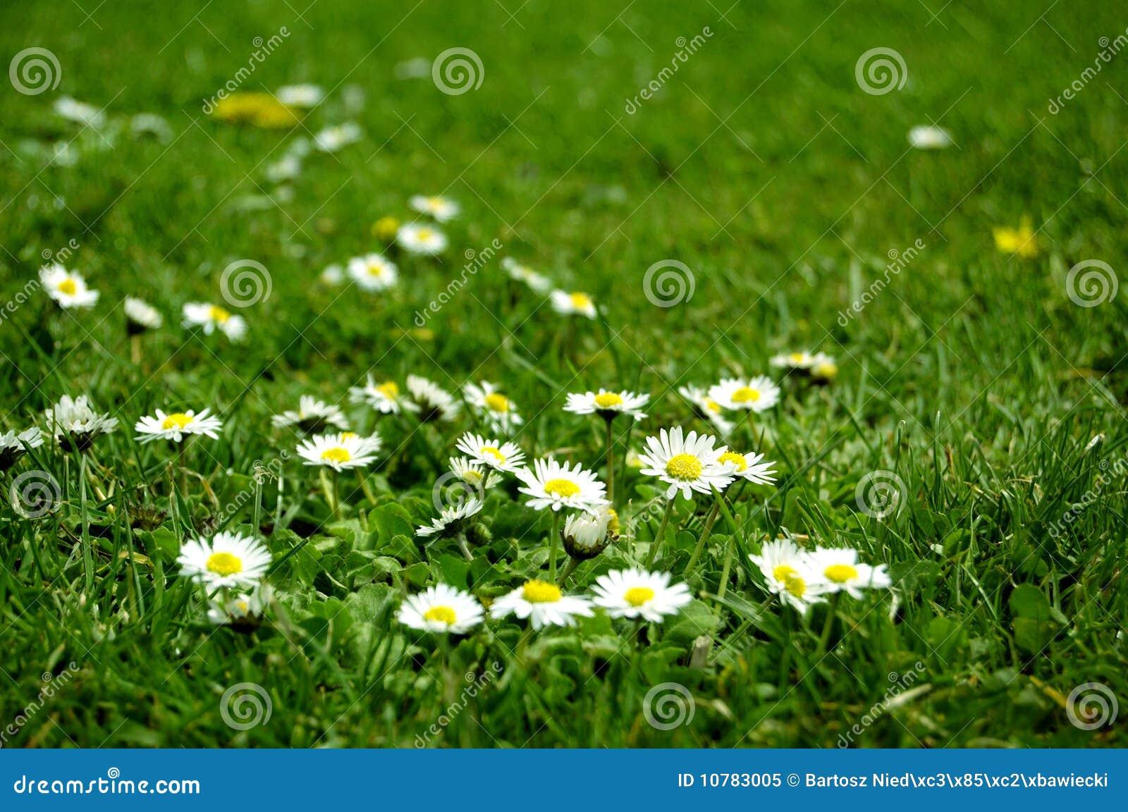 fleurs blanches dans l 39 herbe verte image stock image du nature vert 10783005. Black Bedroom Furniture Sets. Home Design Ideas