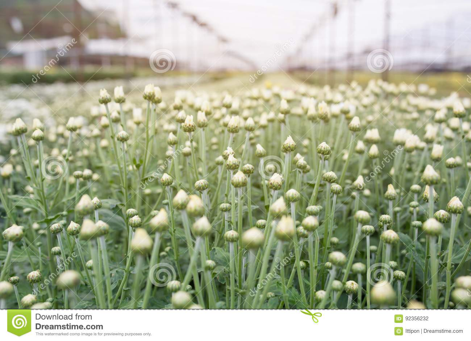 Fleurs blanches de chrysanthemum