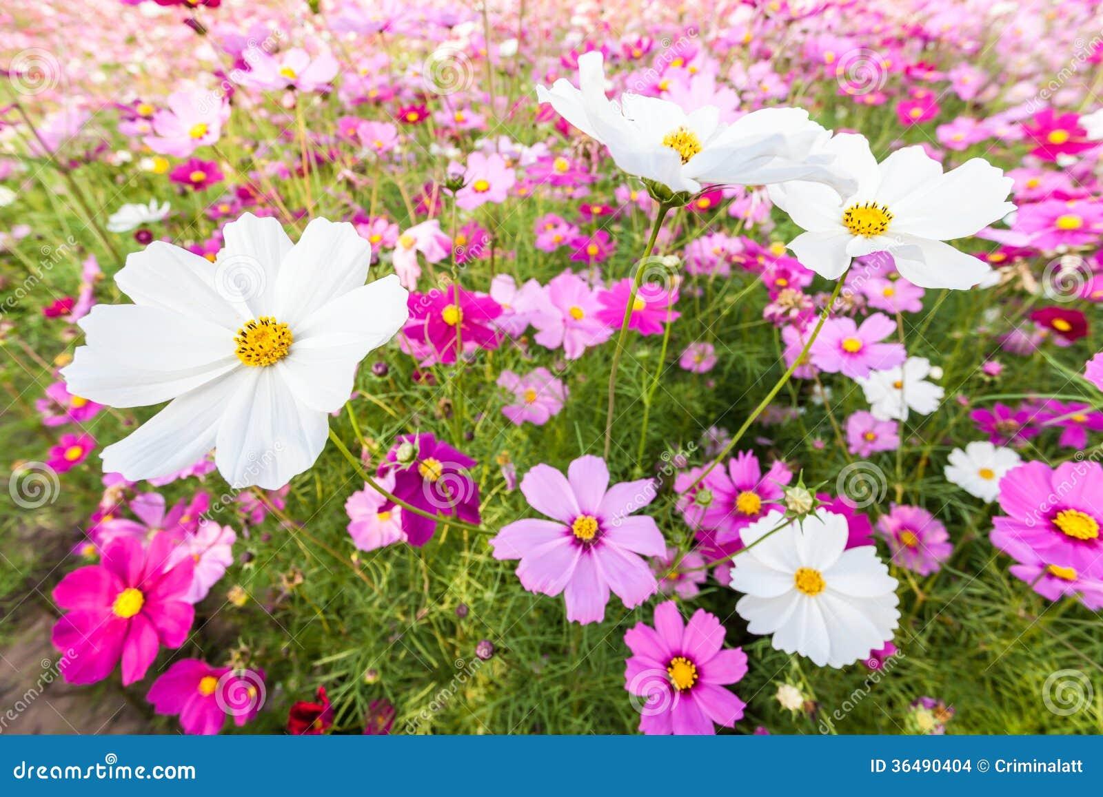 Fleurs blanches de cosmos sur le champ images stock image 36490404 - Fleurs des champs blanches ...
