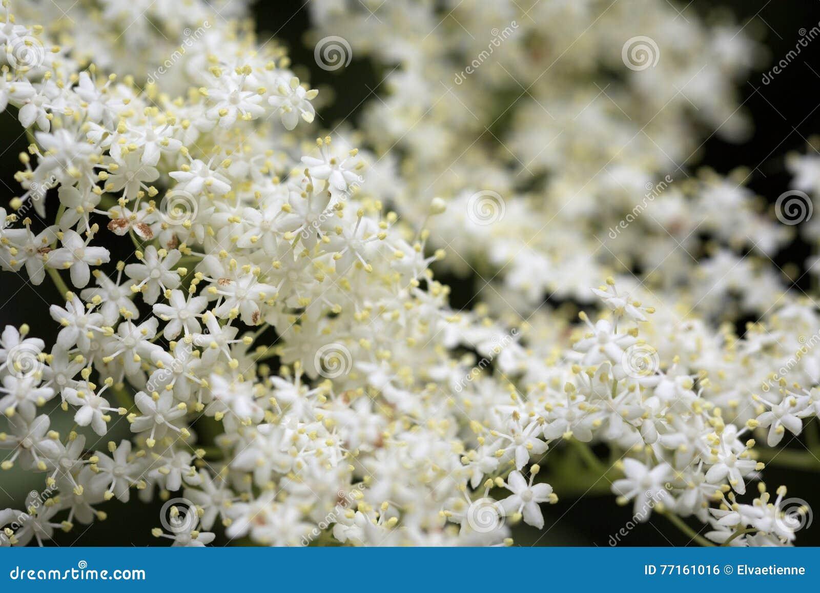 Fleurs blanches de fleur de sureau