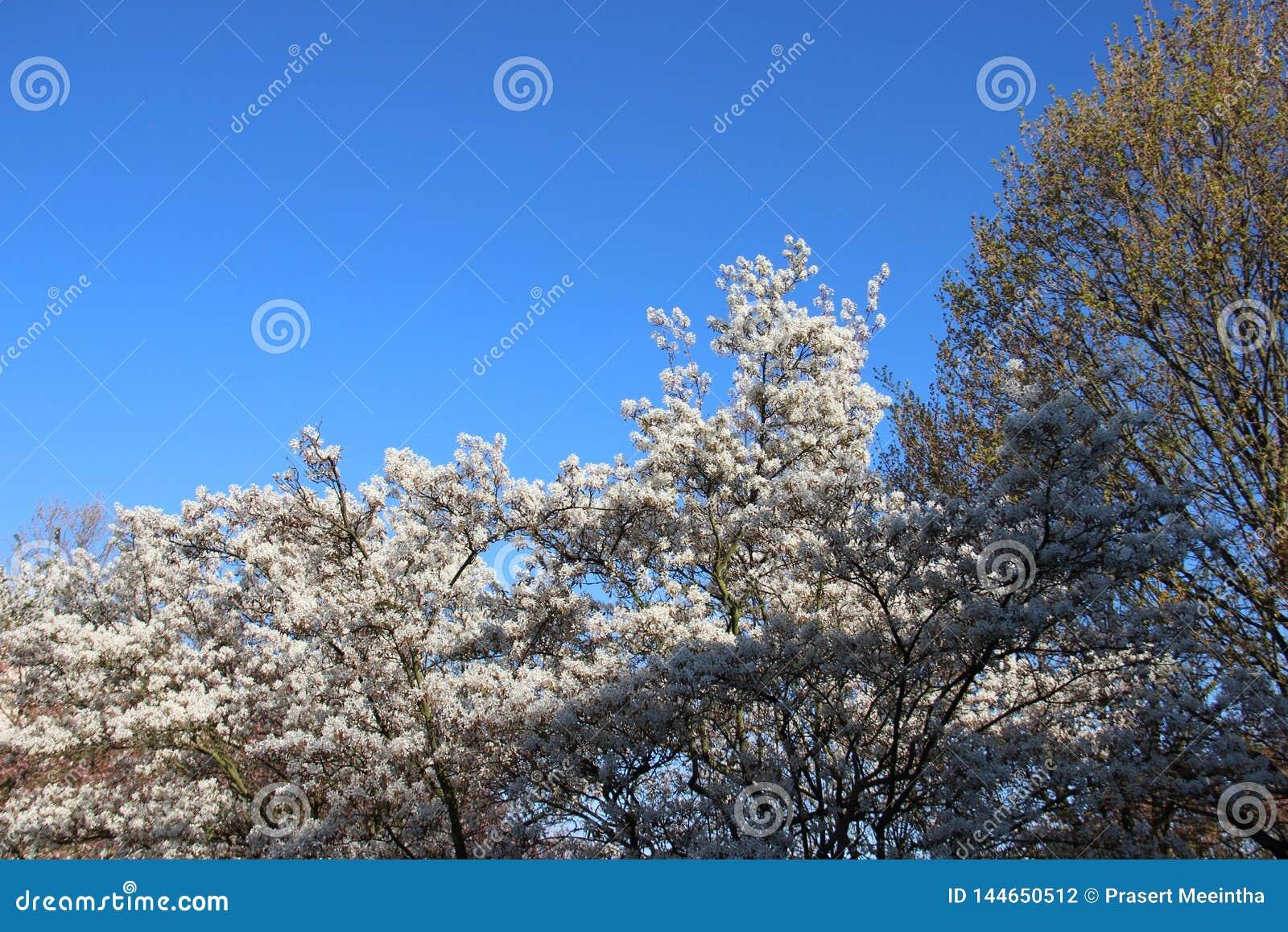 Fleurs blanches de floraison fleurissantes en ciel de Sunny Day With Clear Blue