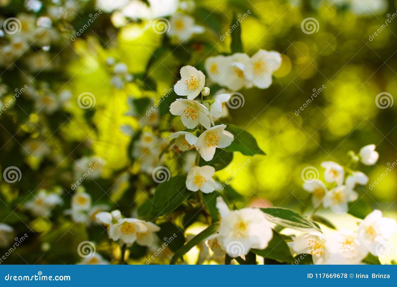 fleurs blanches de jasmin sur la fleur d'arbuste photo stock - image