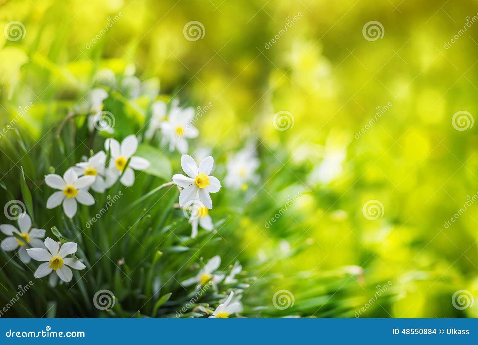 fleurs blanches de narcisse l 39 arri re plan d 39 t photo. Black Bedroom Furniture Sets. Home Design Ideas