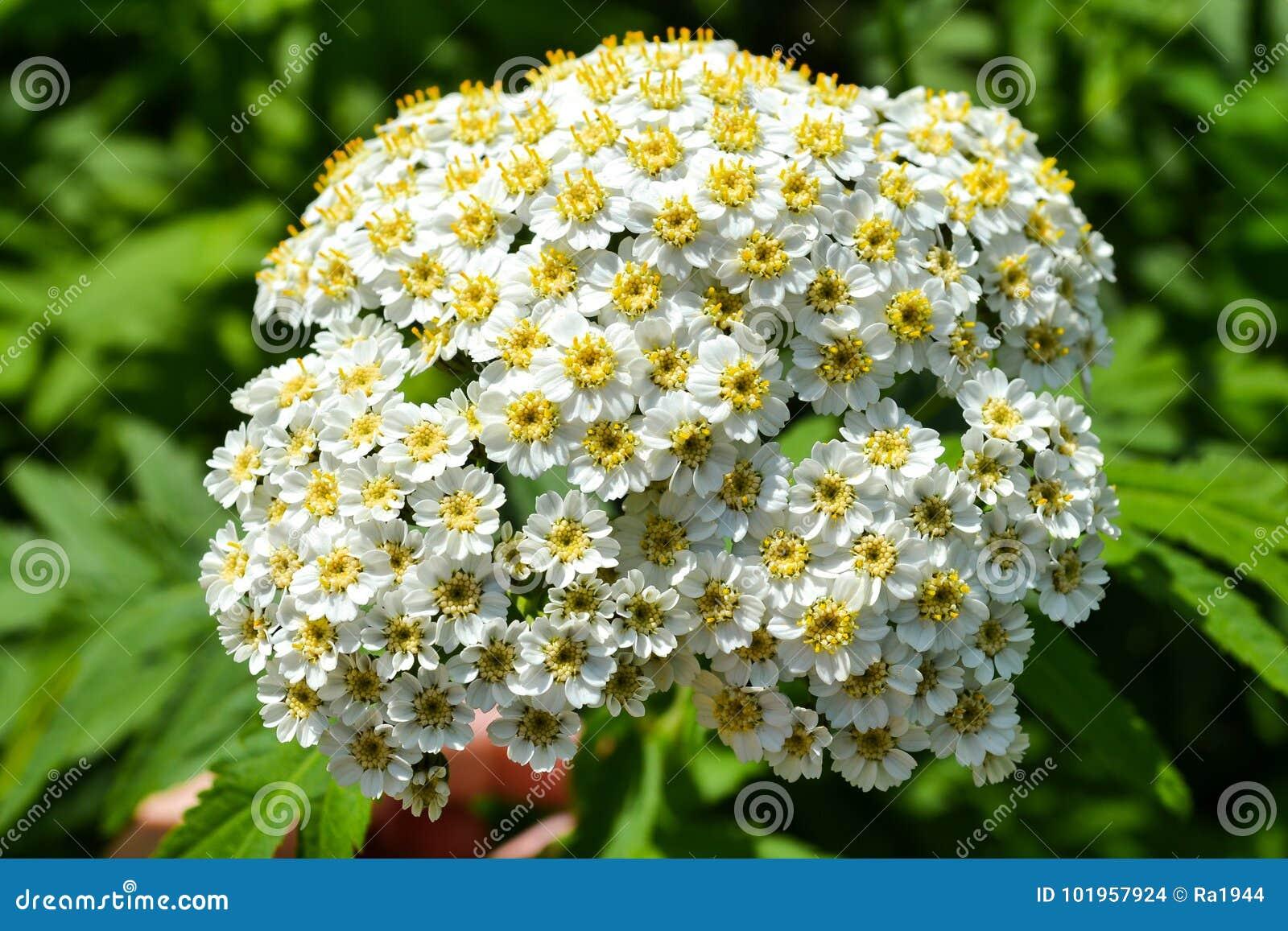 Fleurs blanches de petit ressort dans une inflorescence Soyez semblable à une camomille