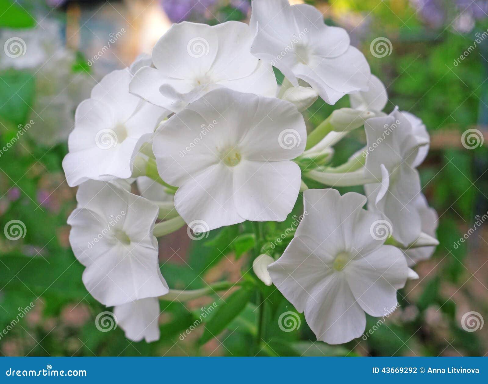 Fleurs Blanches De Phlox Dans Le Jardin Photo stock ...