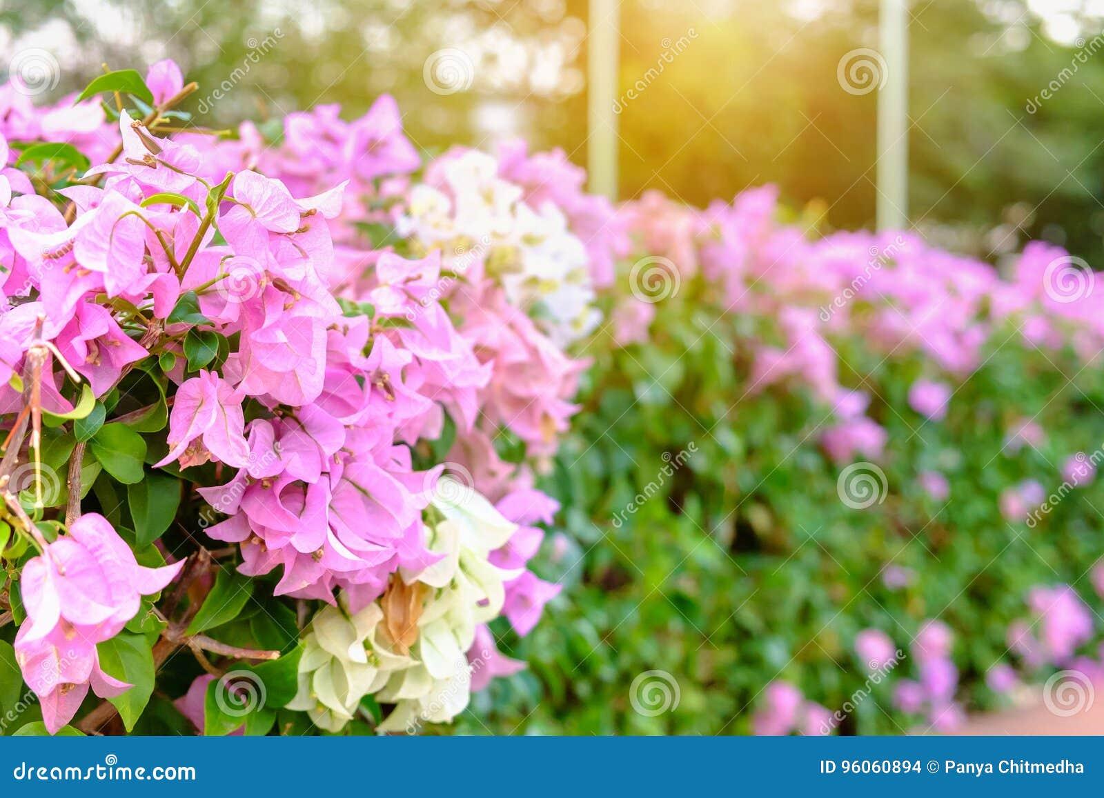 Fleurs blanches et roses de Fuengfah