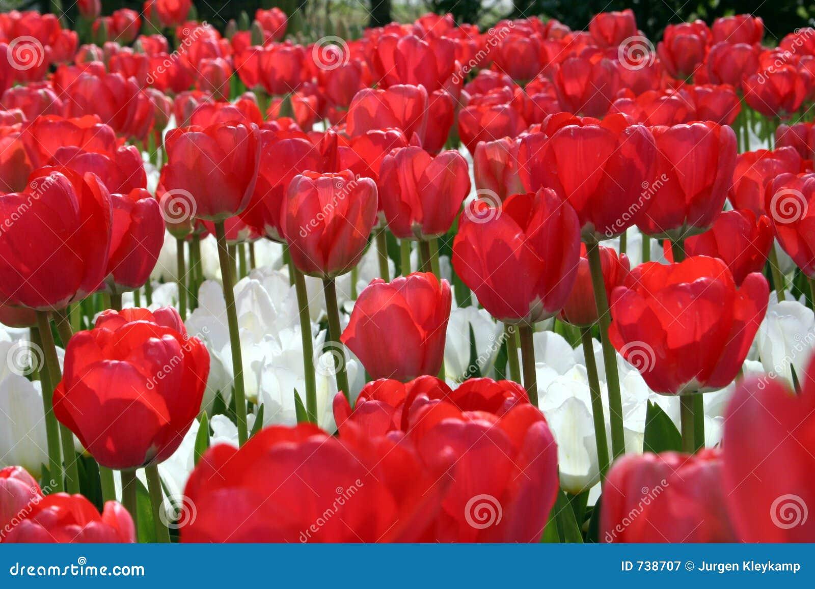 Fleurs blanches rouges