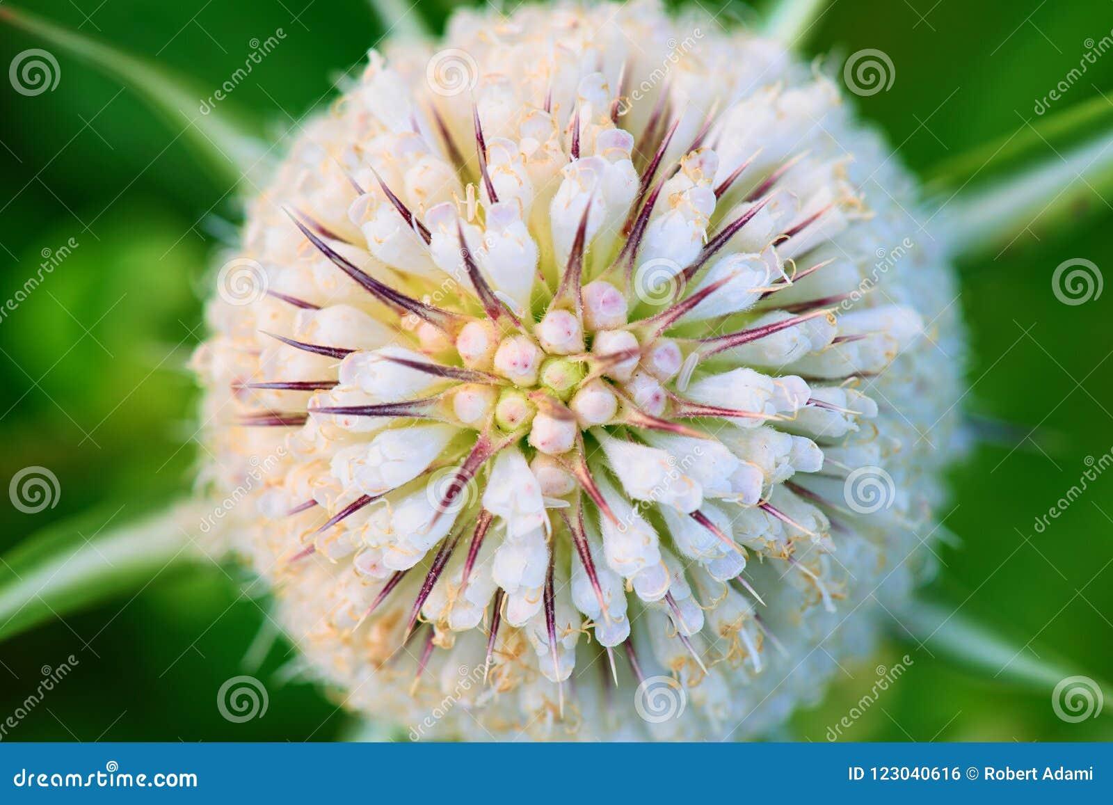 Fleurs blanches sur le plan rapproché de chardon