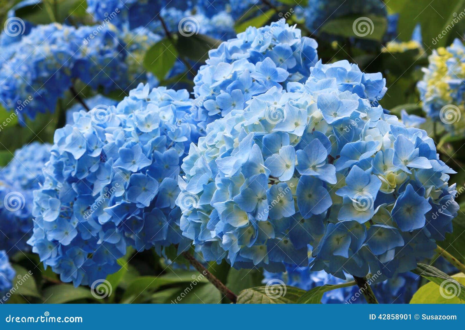 fleurs bleu clair d 39 hortensia dans le jardin image stock image du accroissement parfum 42858901. Black Bedroom Furniture Sets. Home Design Ideas