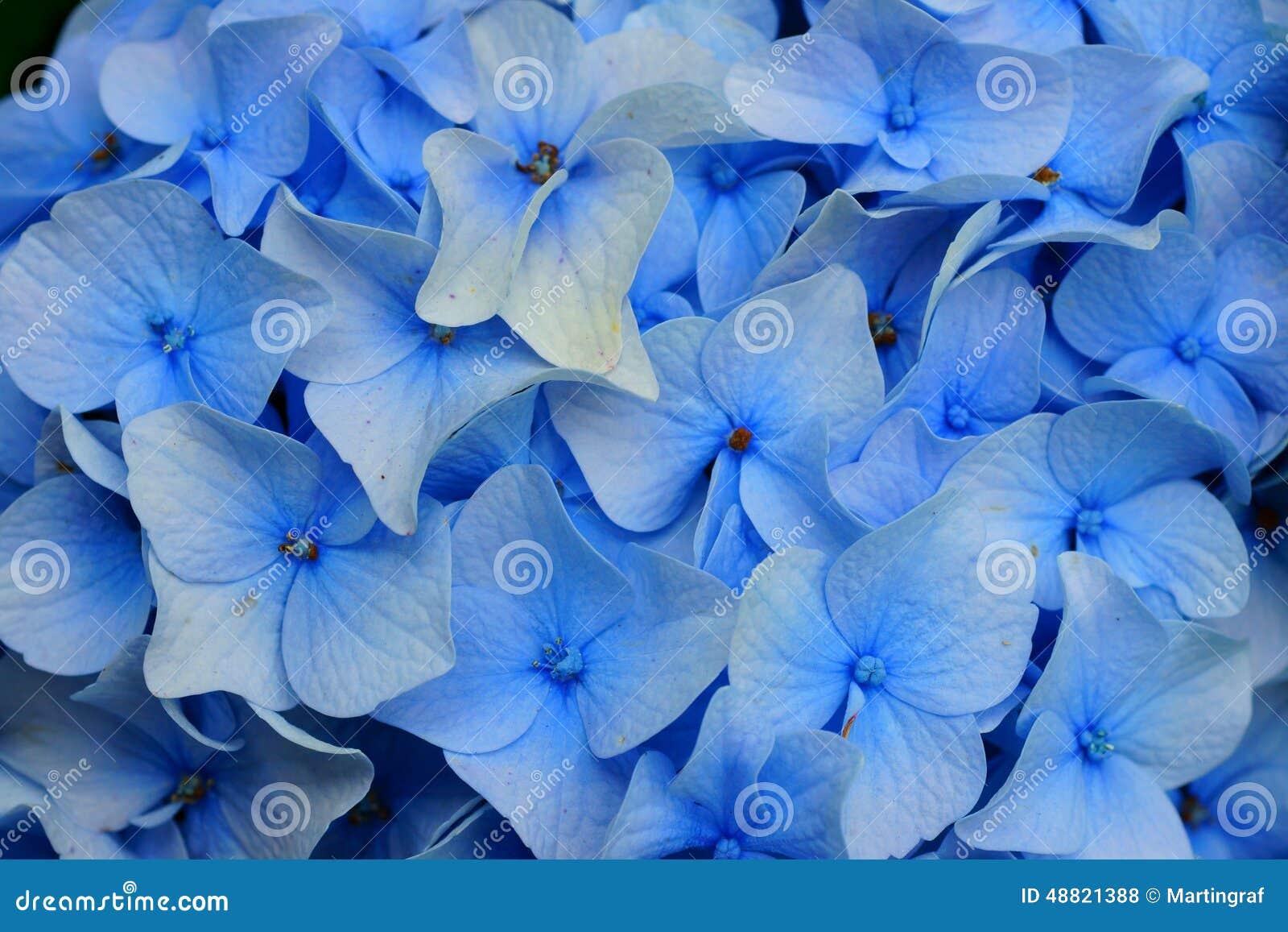 Fleurs Bleu-clair De Hortensia Photo stock - Image: 48821388
