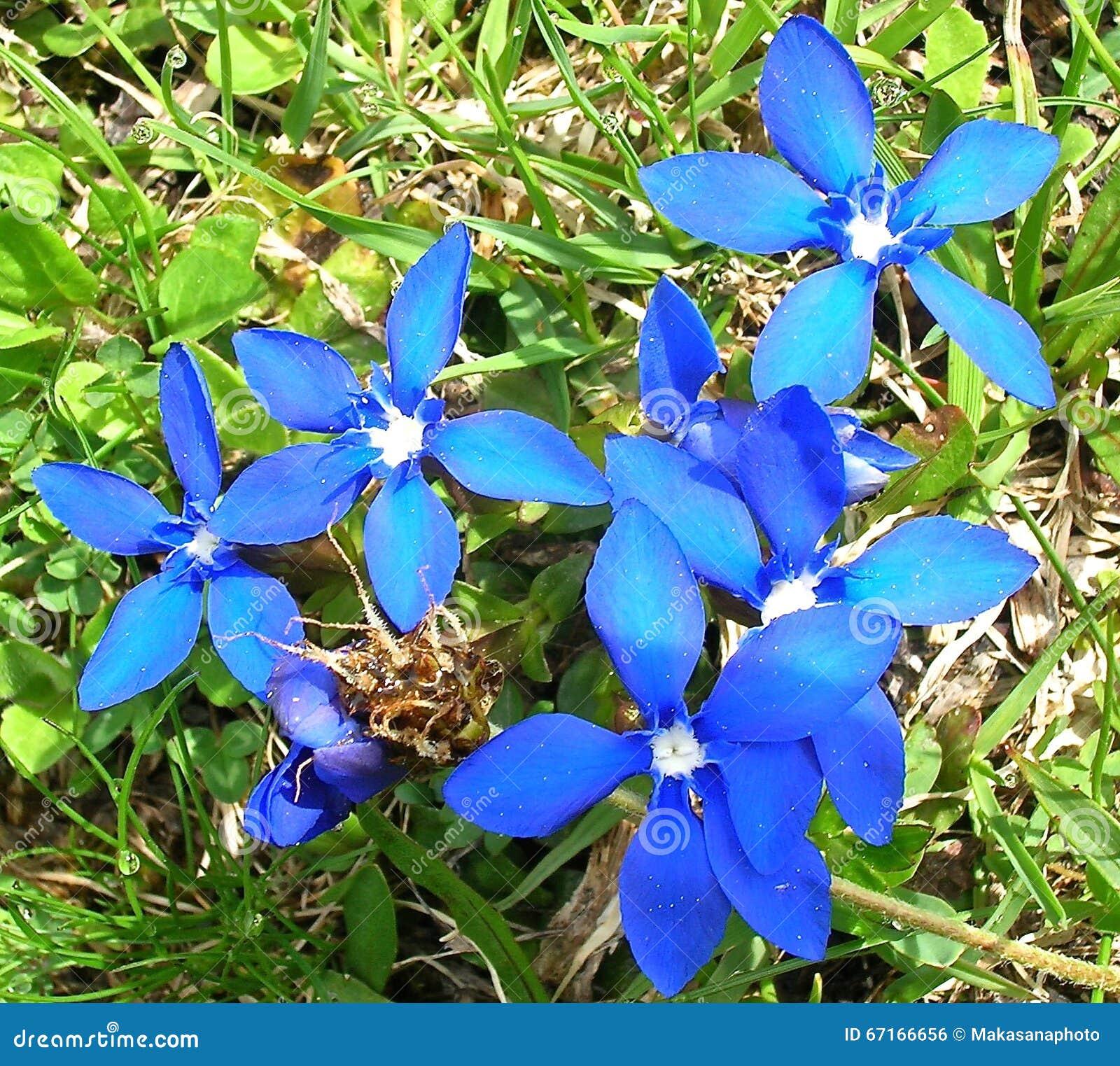 Fleurs bleues dans les alpes suisses photo stock image du alpes indig ne 67166656 - Fleurs de montagne alpes ...