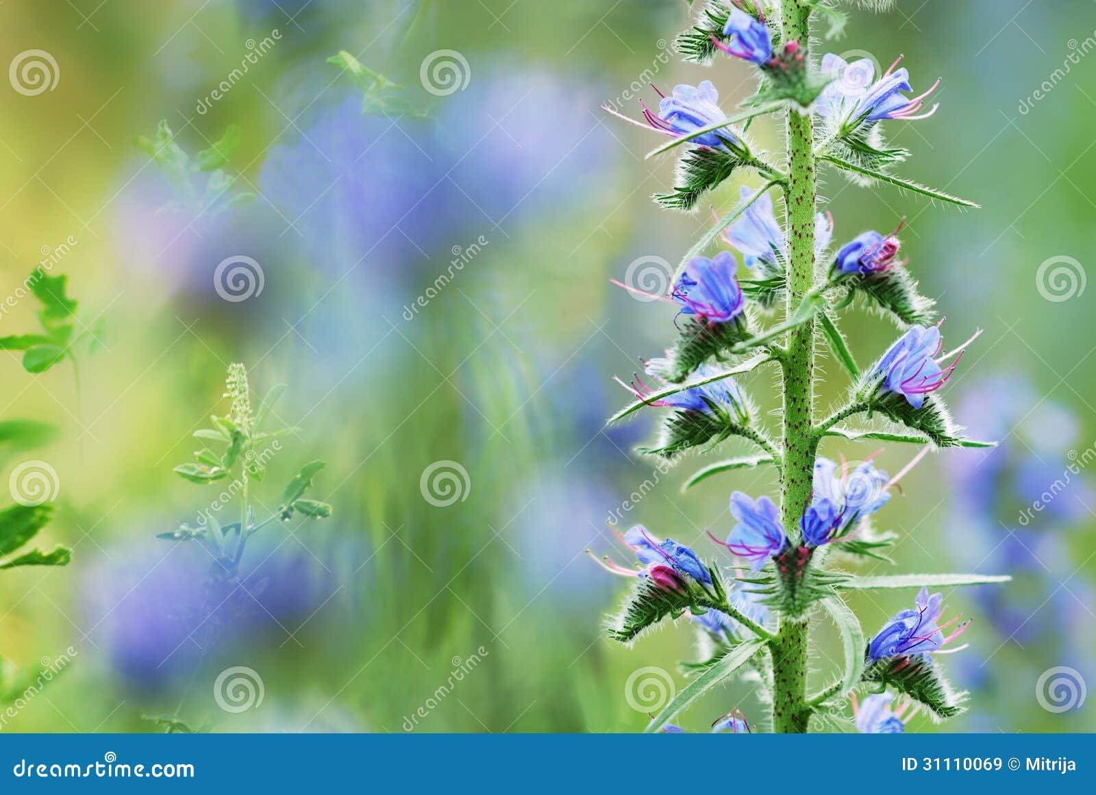 Fleurs bleues de champ