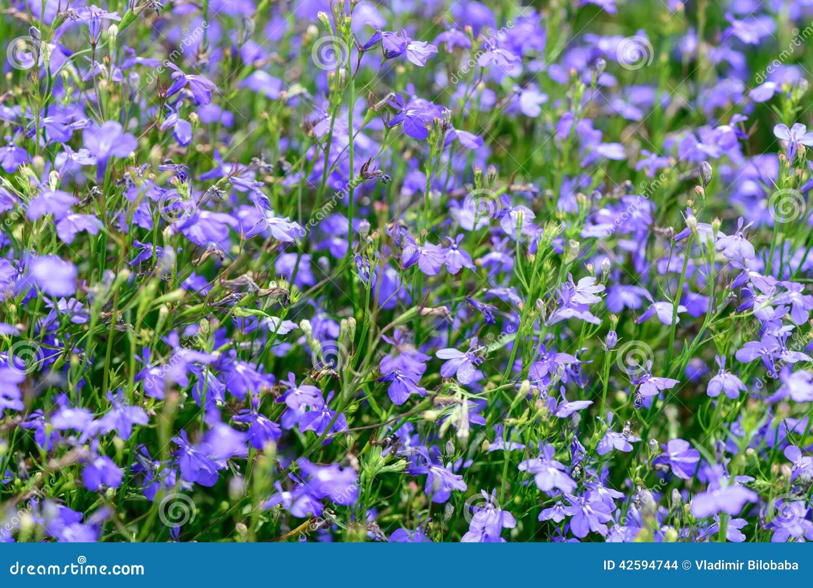 Fleurs bleues de jardin d été