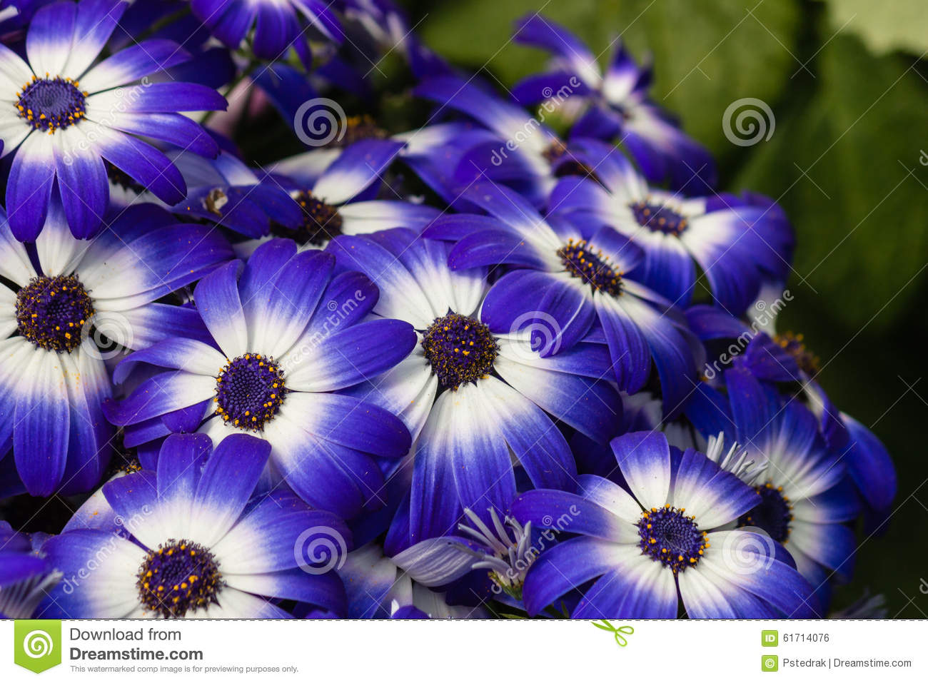 fleurs bleues et blanches d 39 osteospermum photo stock image 61714076. Black Bedroom Furniture Sets. Home Design Ideas