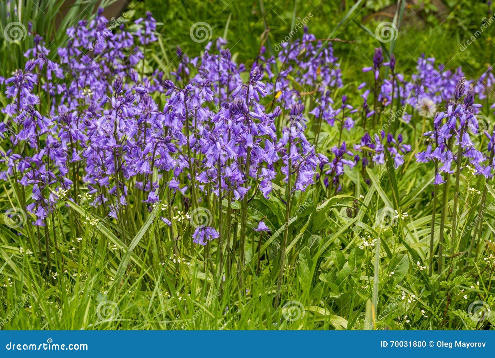 Fleurs bleues fleurissant au printemps jardin photo stock for Fleurs jardin printemps
