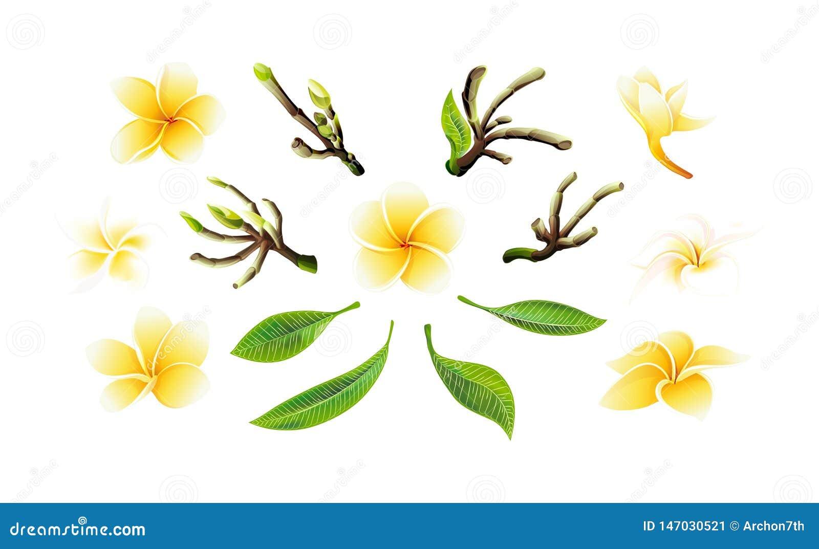 Fleurs, branches jaunes et feuilles de plumeria de vecteur tropical réglées pour des cartes