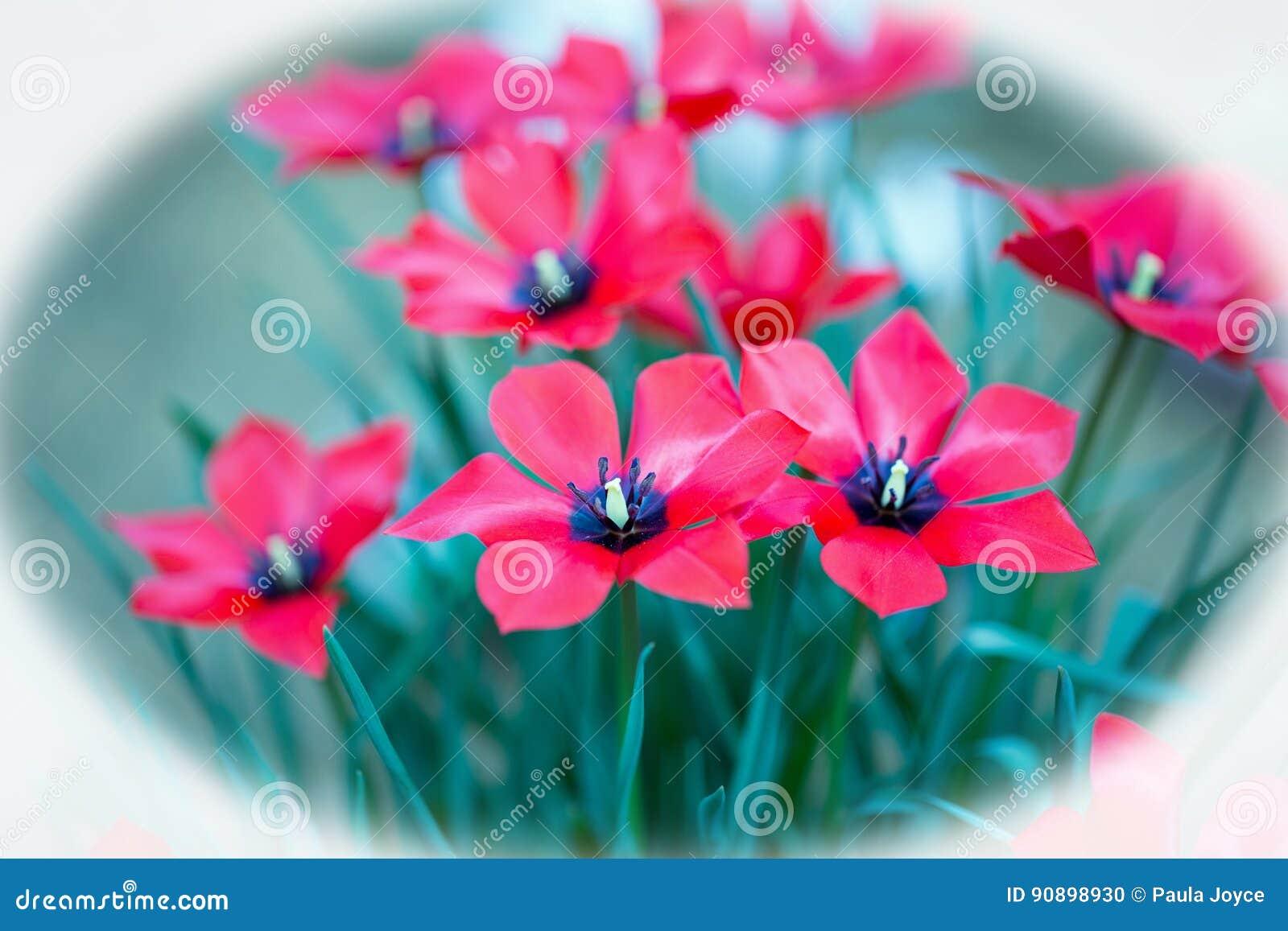 Fleurs Brillantes Rouges Assez Petites Avec étamine Noire En Pleine