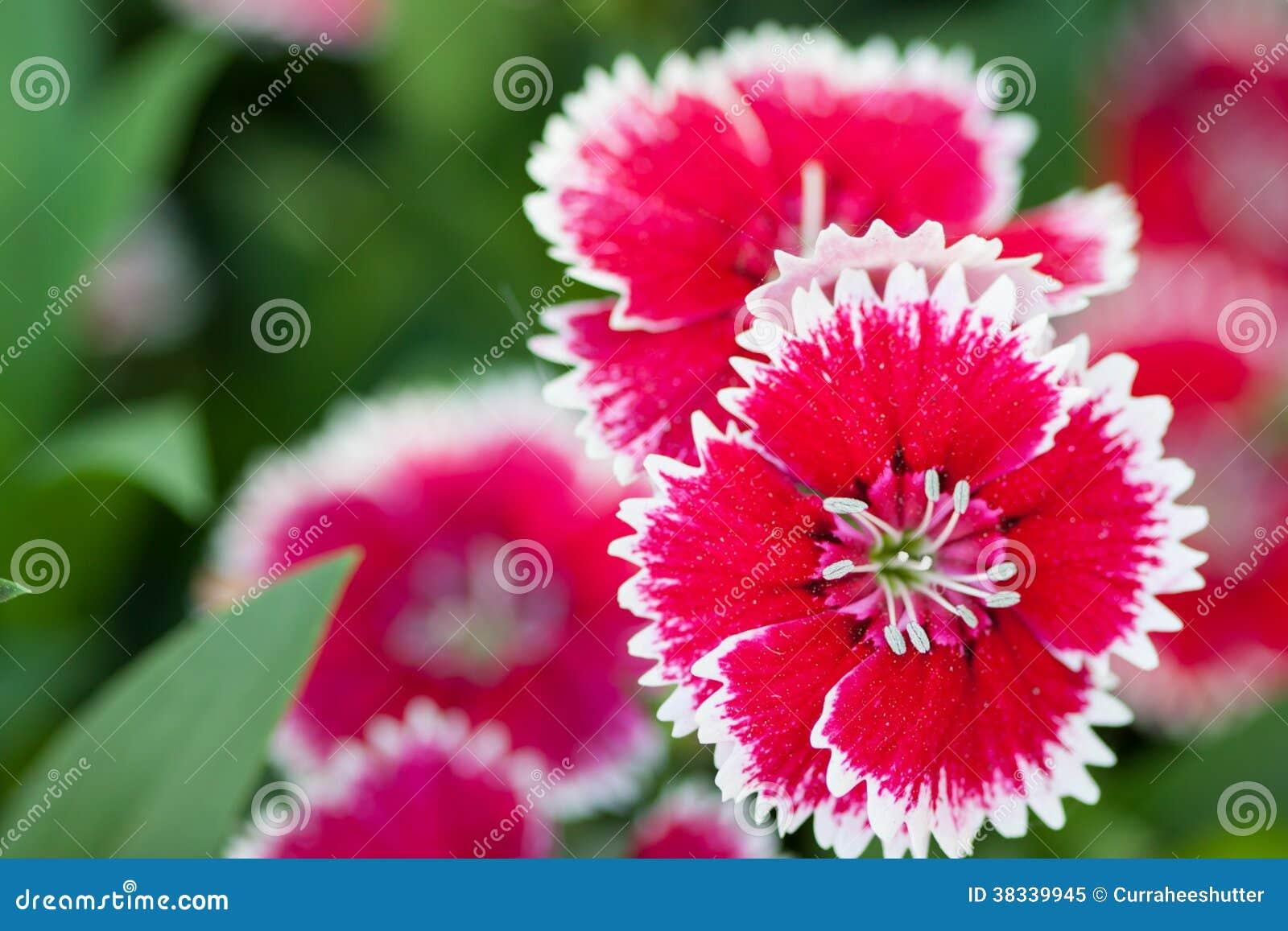 Fleurs chinensis d 39 oeillet dans le jardin photo libre de for Fleurs dans le jardin
